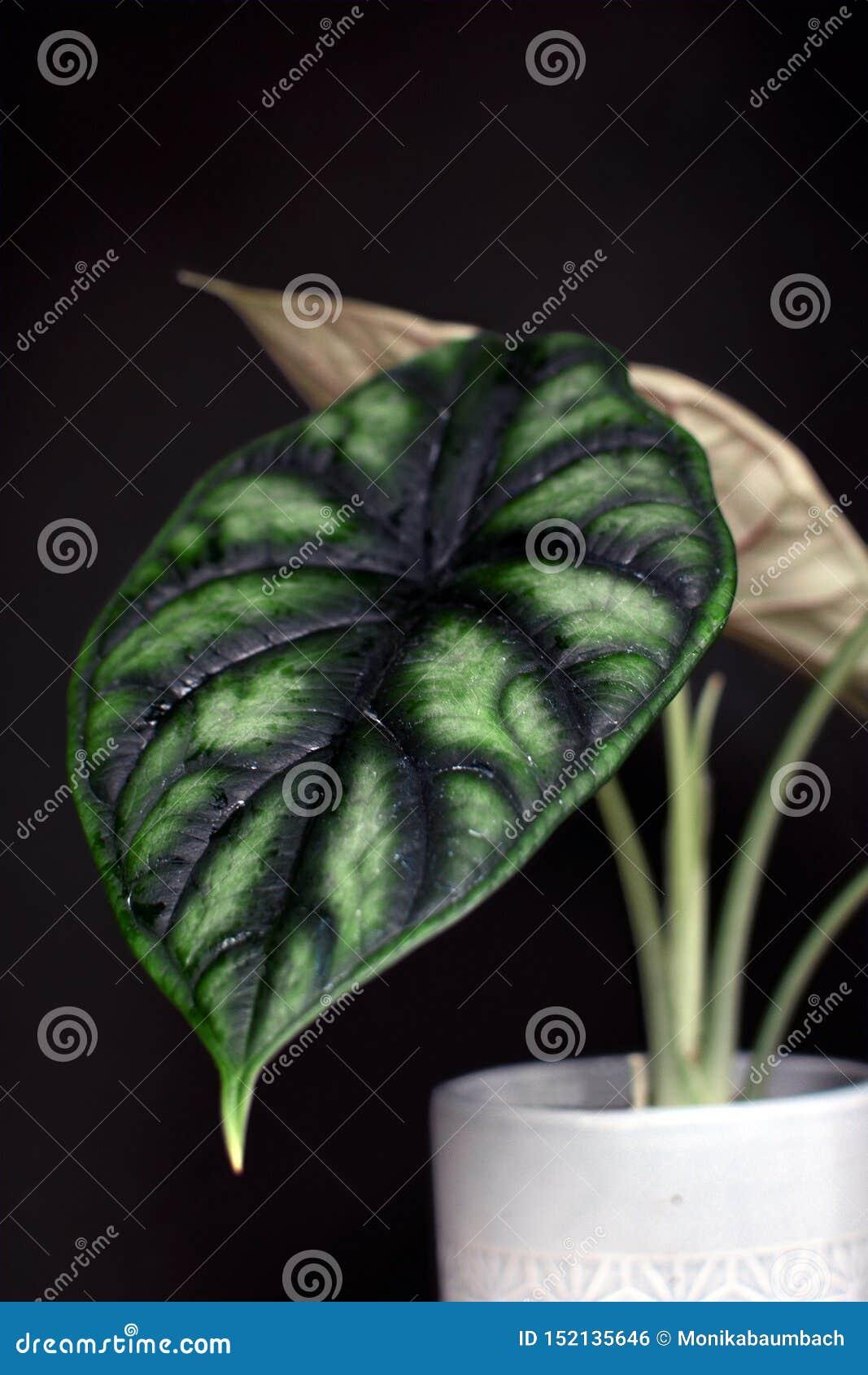 Planta em pasta exótica da casa de Baginda Cuprea Dragon Scale do Alocasia no fundo preto escuro