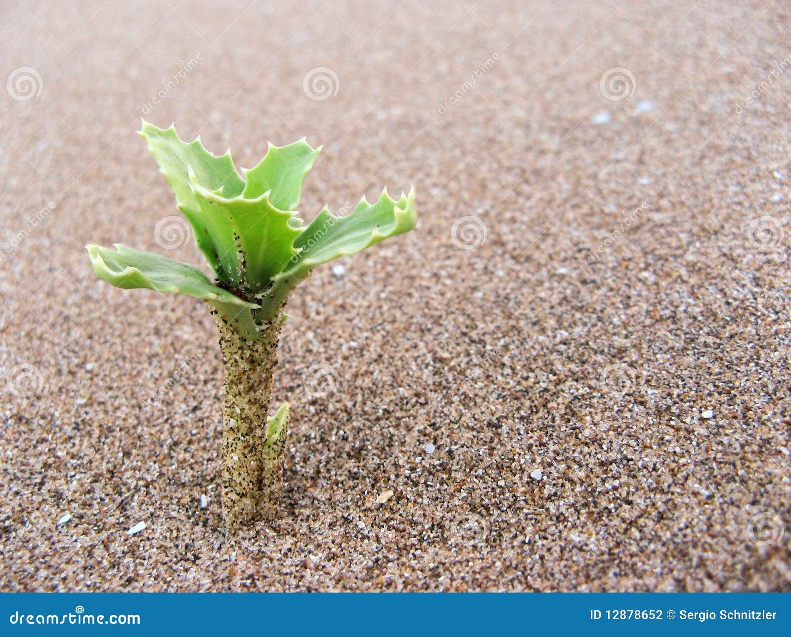 Planta en la arena