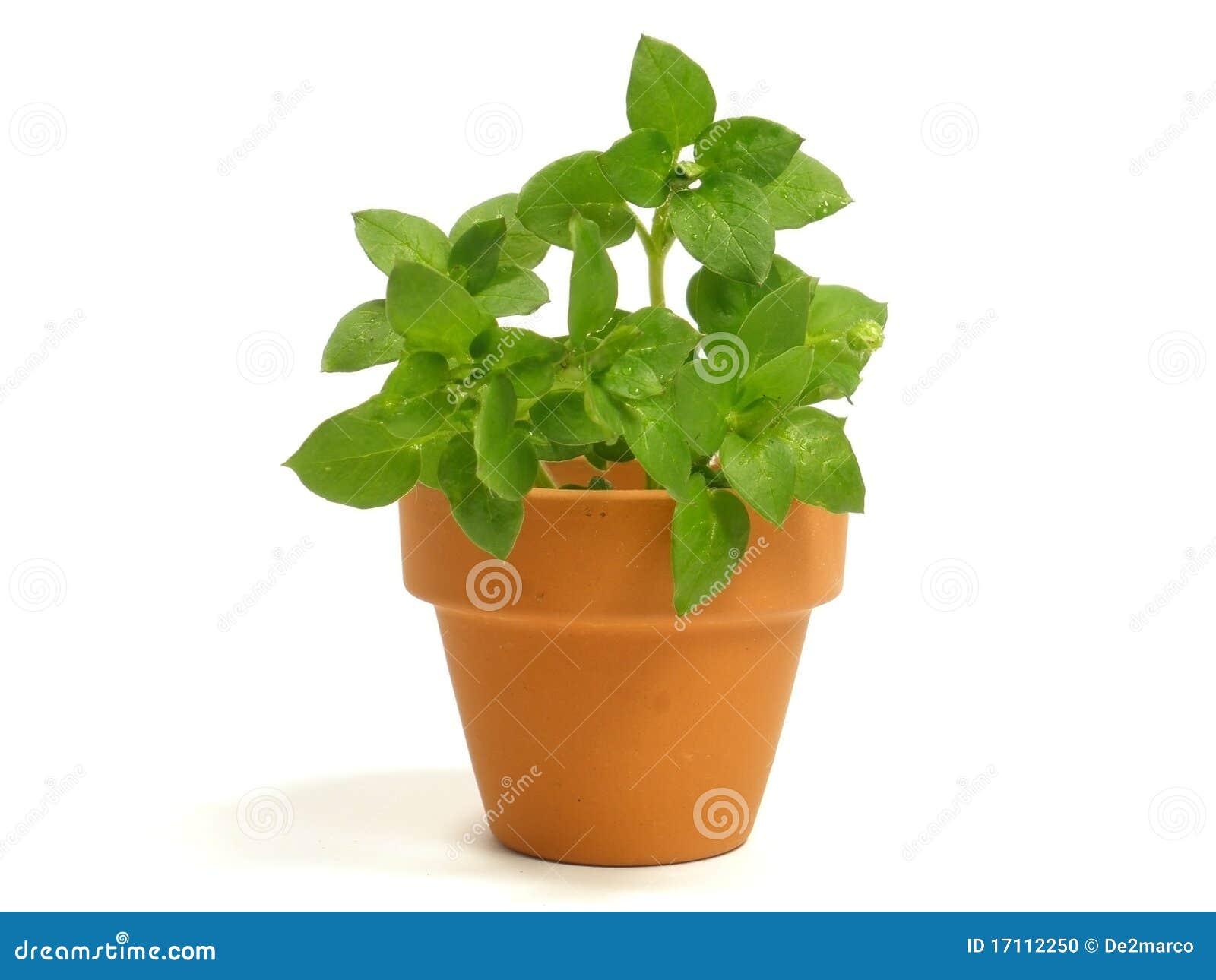 Planta en maceta foto de archivo imagen 17112250 for Plantas en macetas