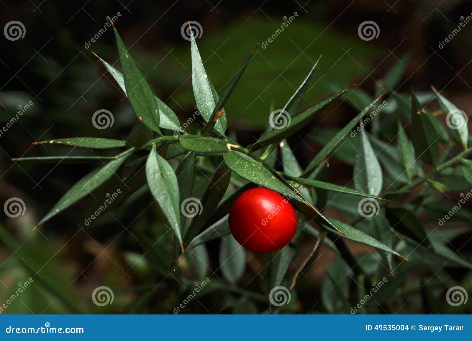 Planta espinhosa do aculeatus do ruscus