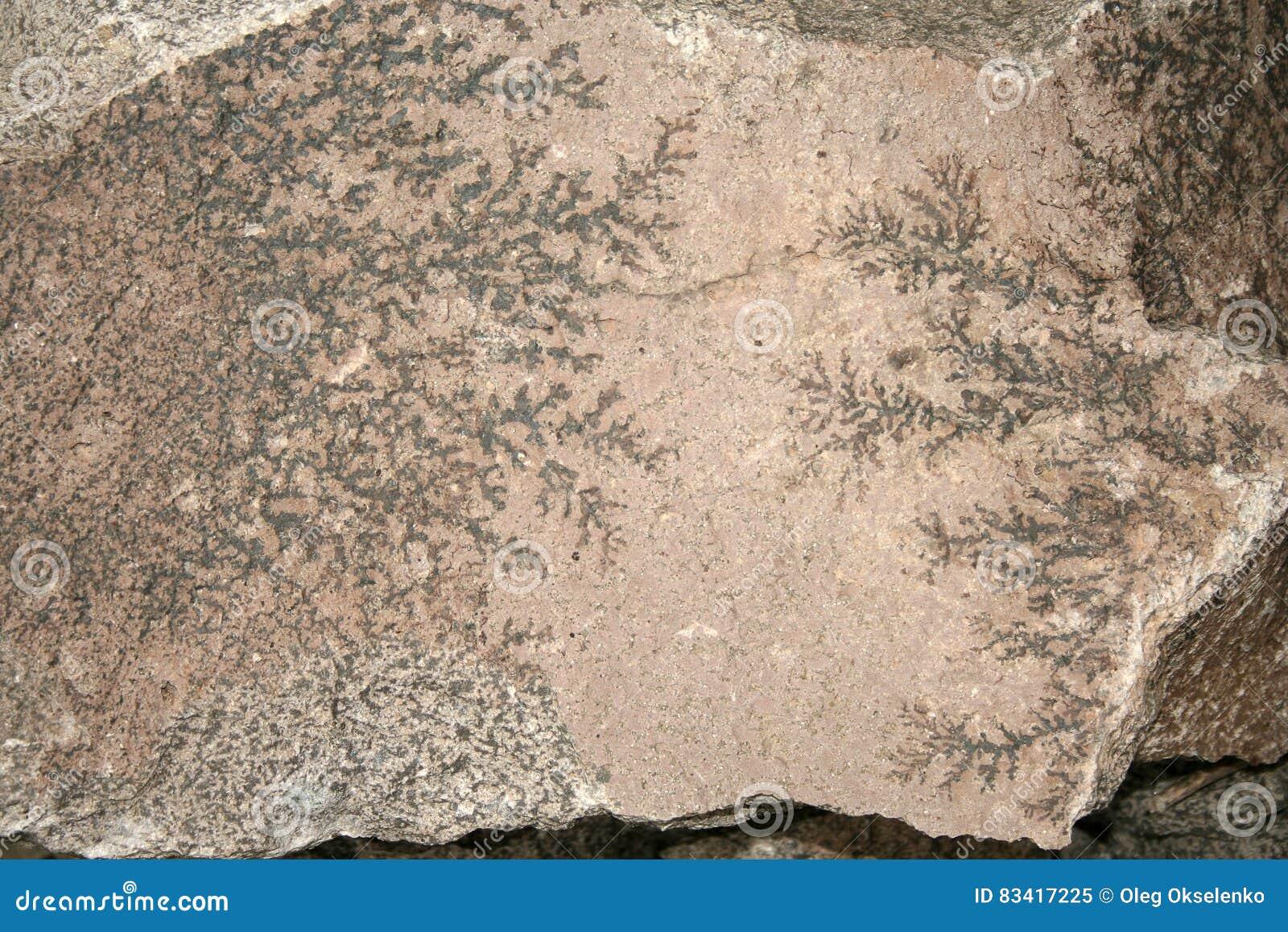Planta Fósil La Impresión De Una Hoja Prehistórica En La