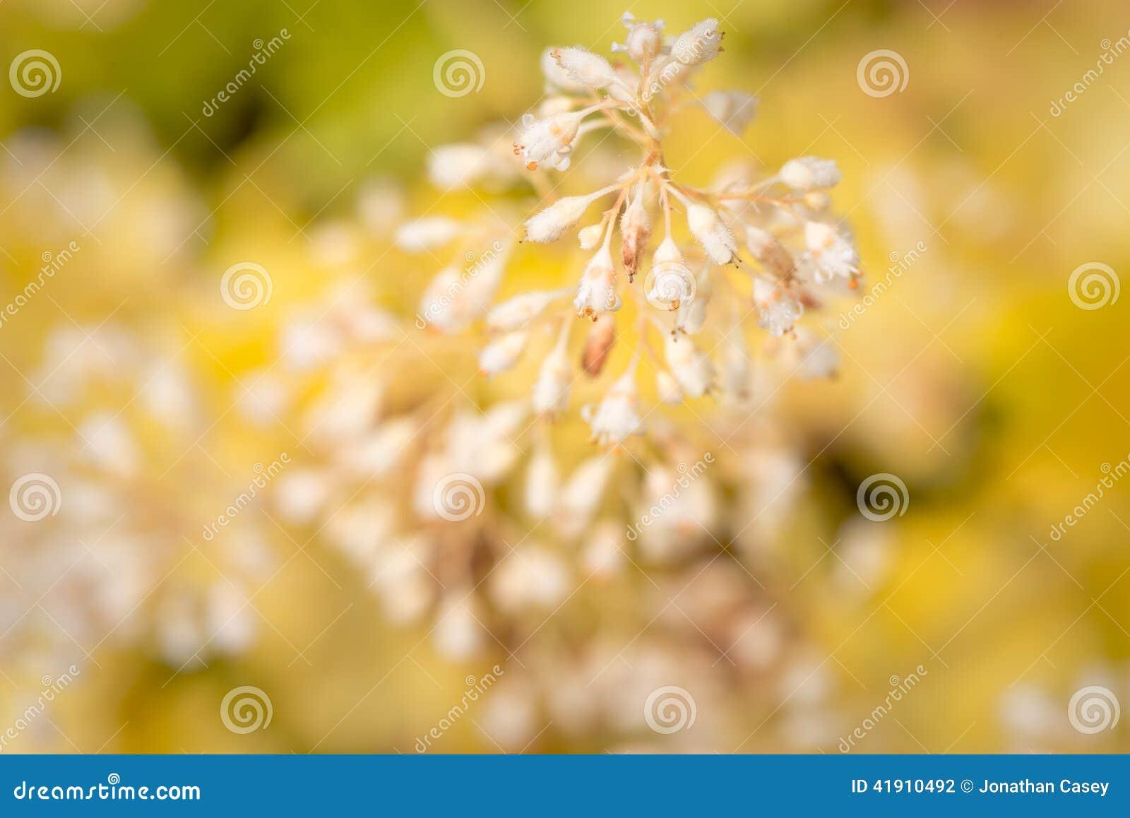 Planta floreciente blanca del Heuchera