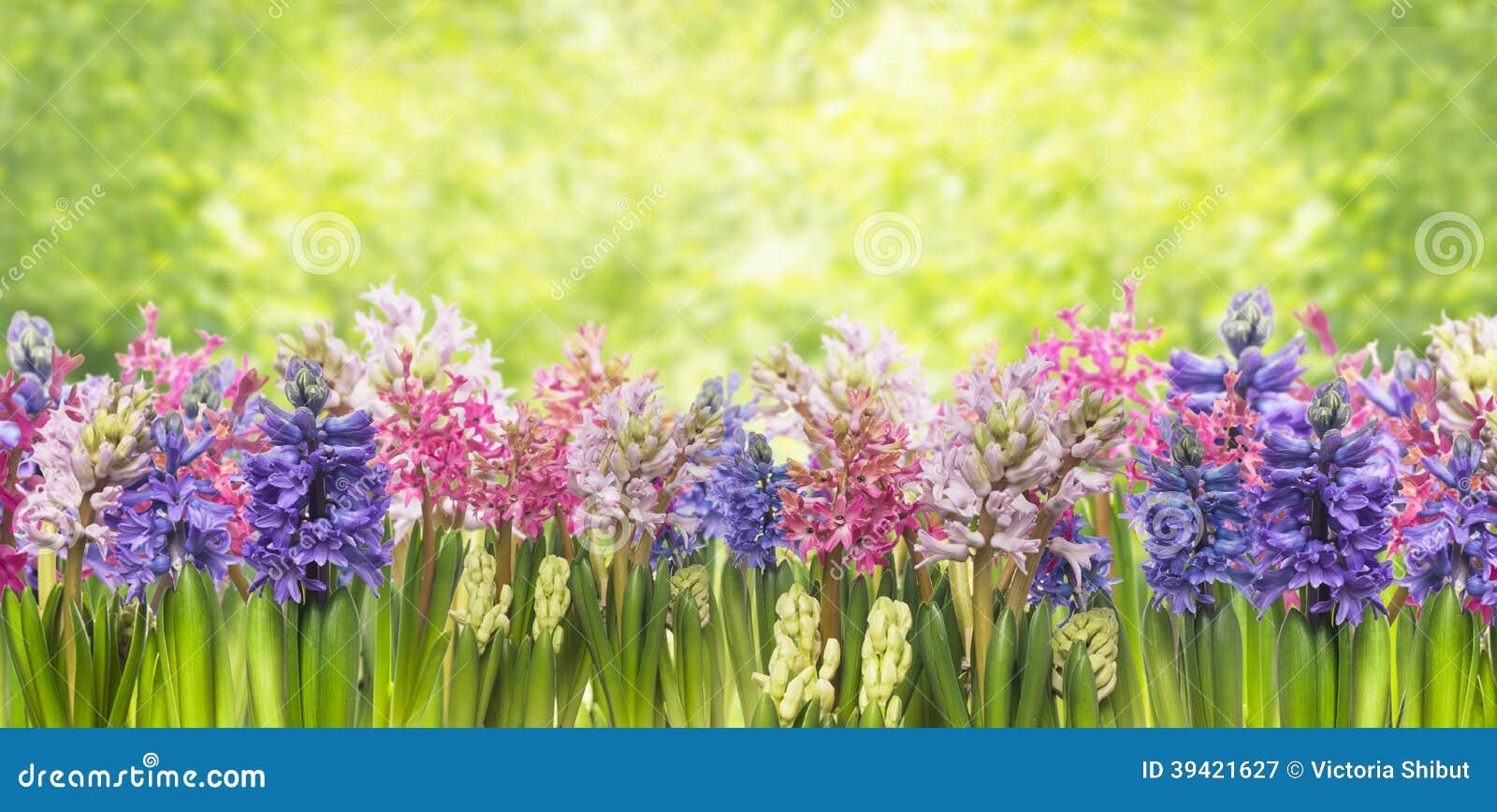 Planta floreciente de las flores de los jacintos de la primavera en jardín