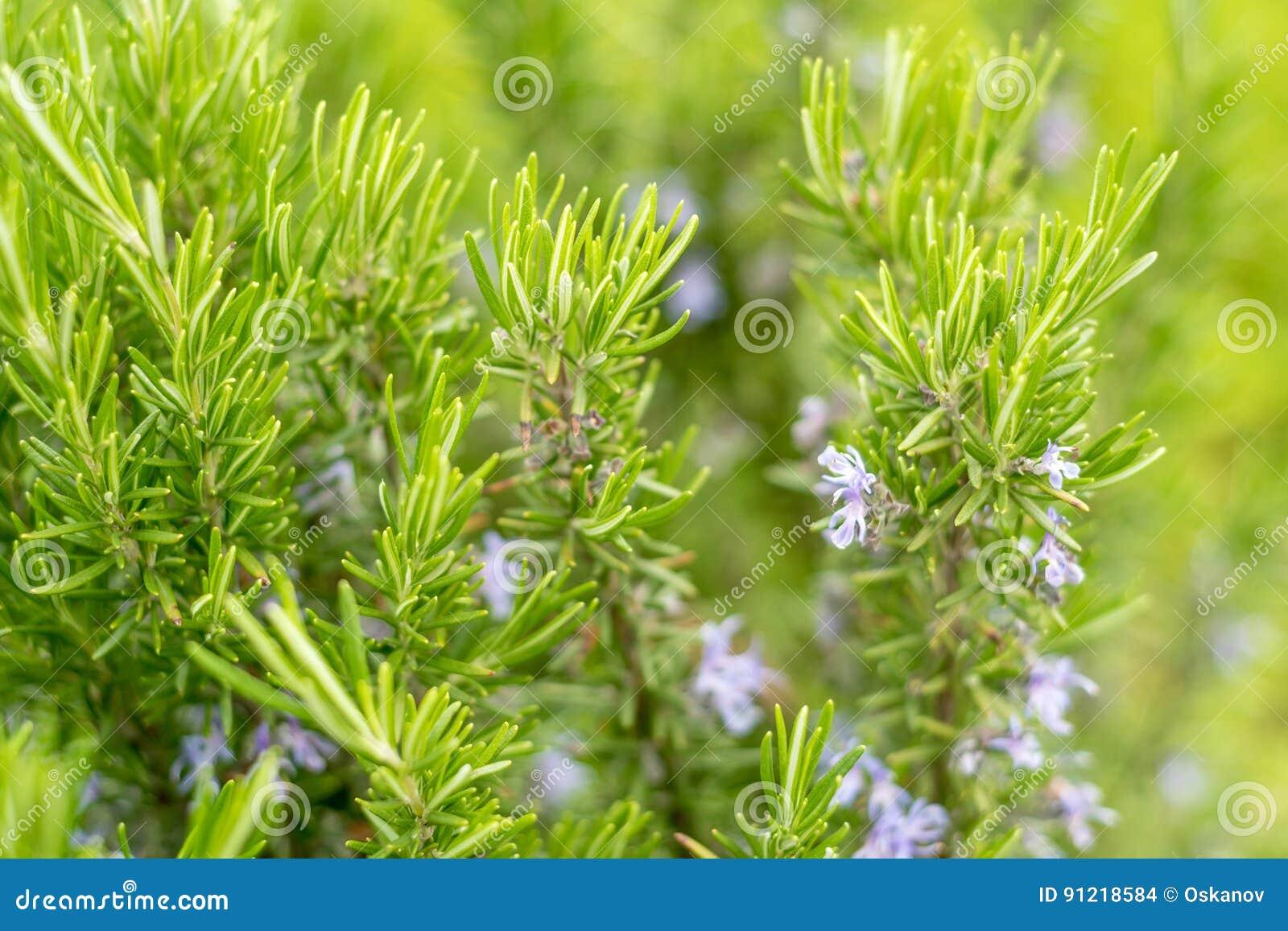 Planta floreciente del romero