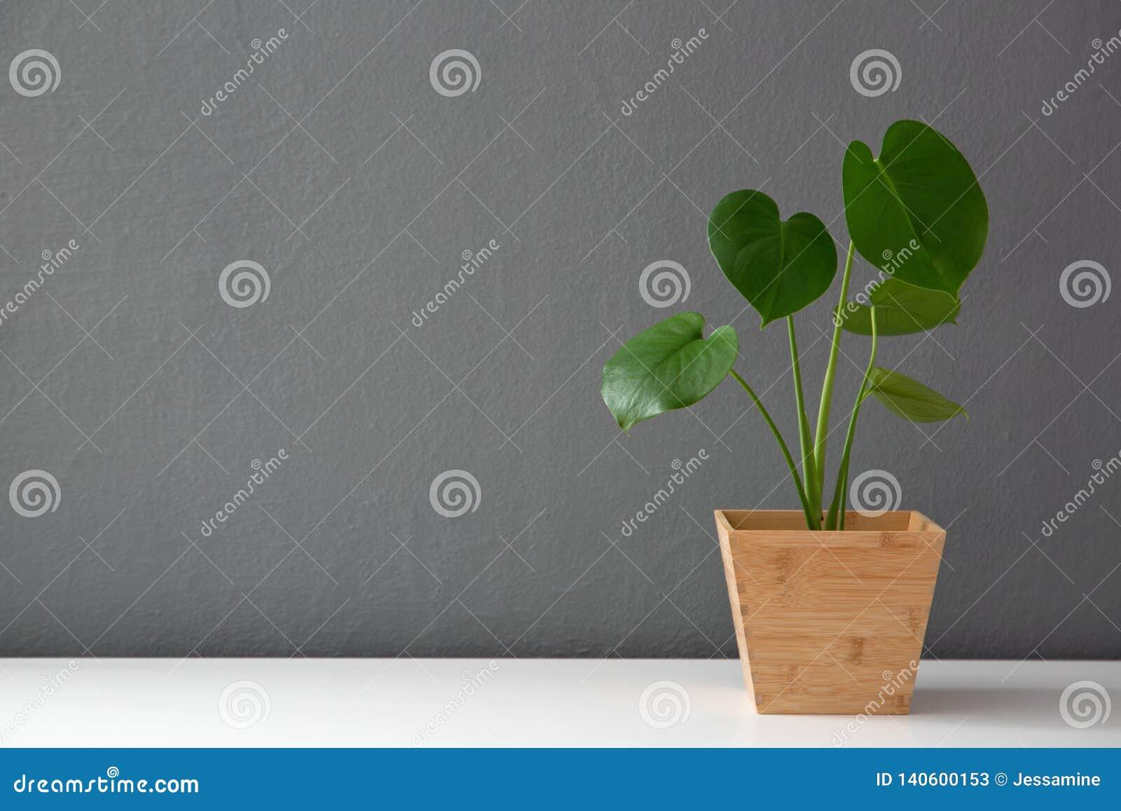 Planta frondosa moderna no potenciômetro de madeira