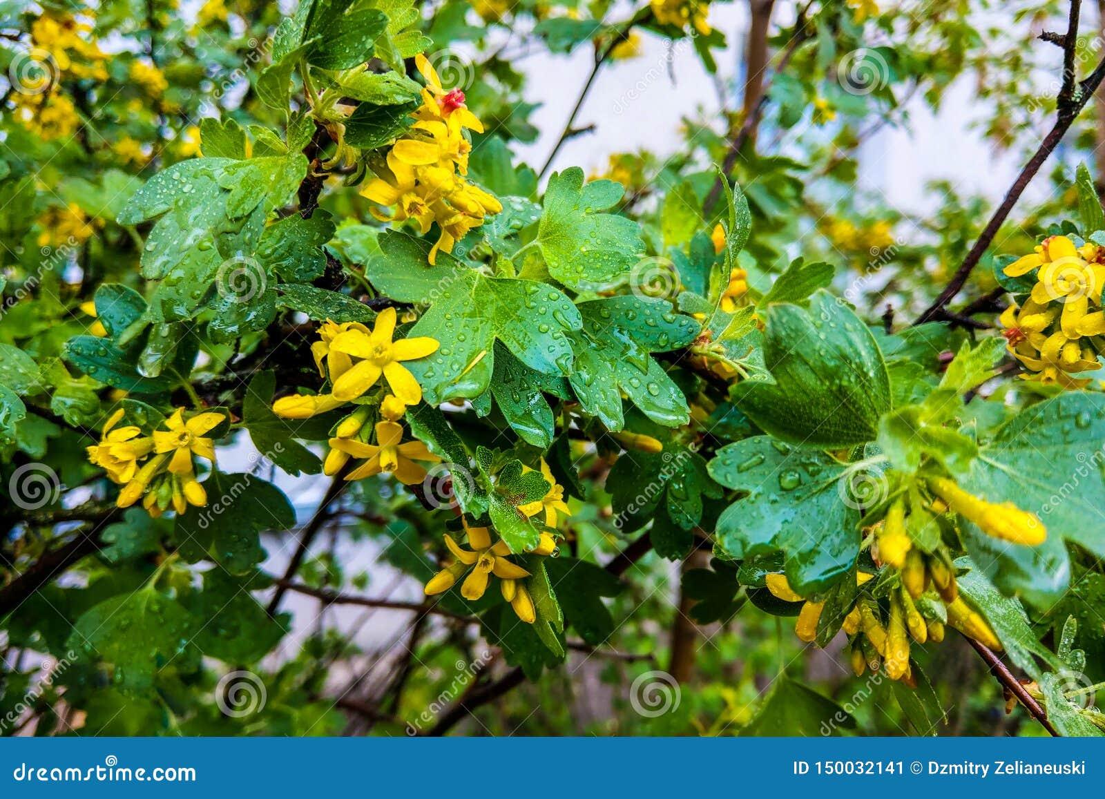 Planta herbaria del hypericum de Tutsan que florece en un campo en verano