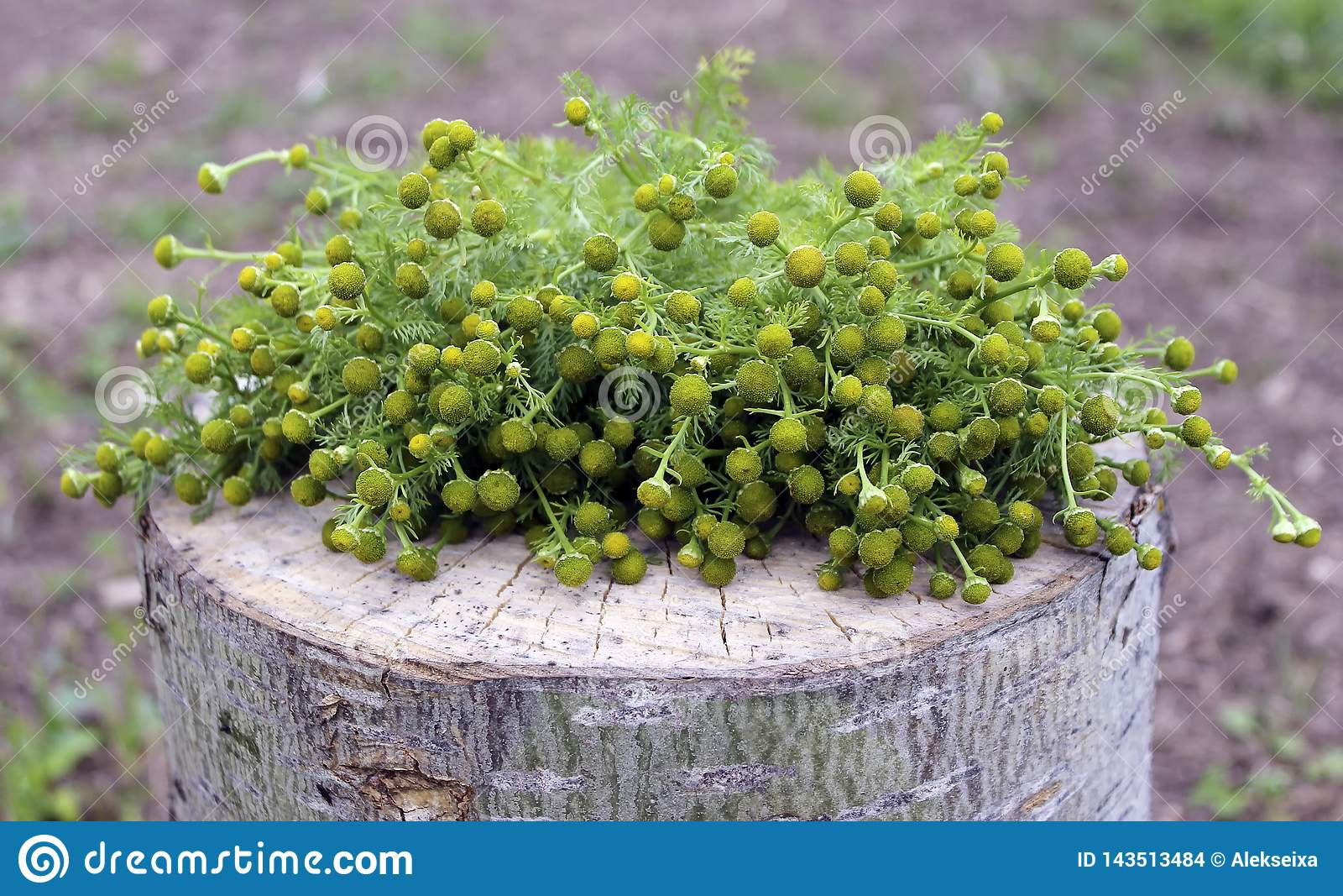 Planta medicinal - manzanilla farmacéutica con las inflorescencias en un tocón de madera