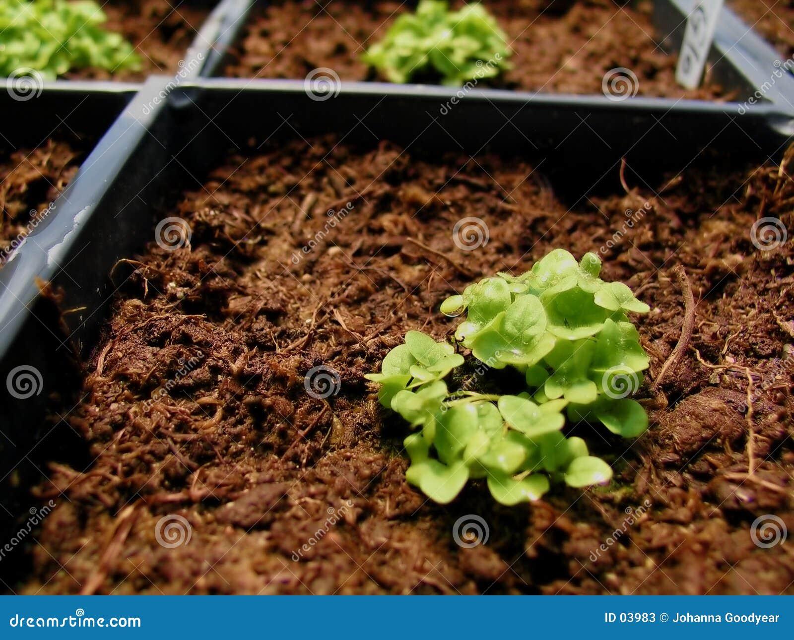 Planta na estufa