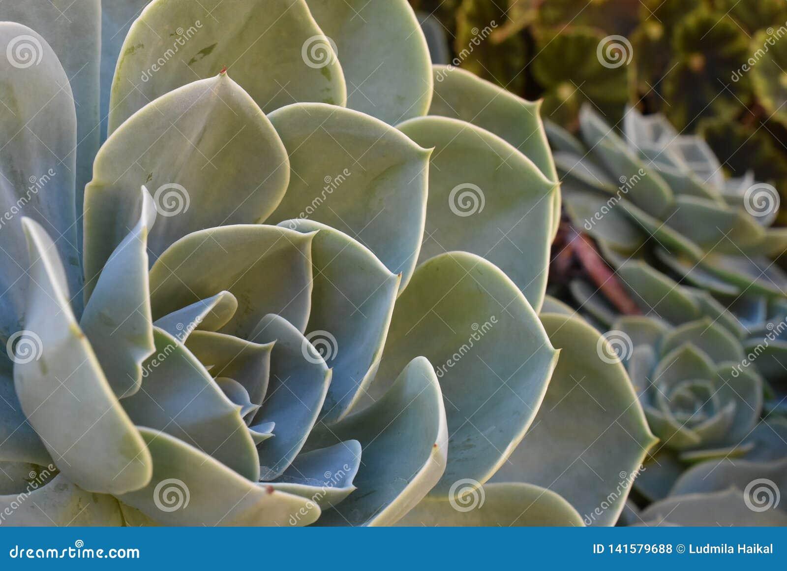 Planta na flor no jardim Bola mexicana da neve, gema mexicana, rosa mexicana branca Planta suculento em um jardim do deserto cien