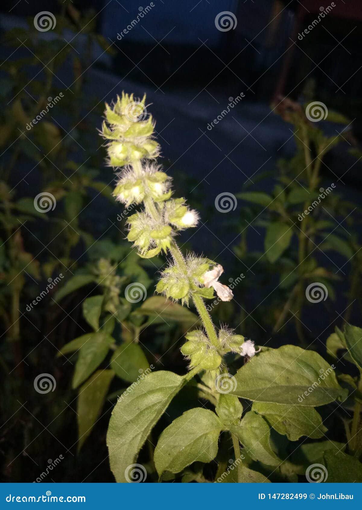Planta perfumada da manjeric?o