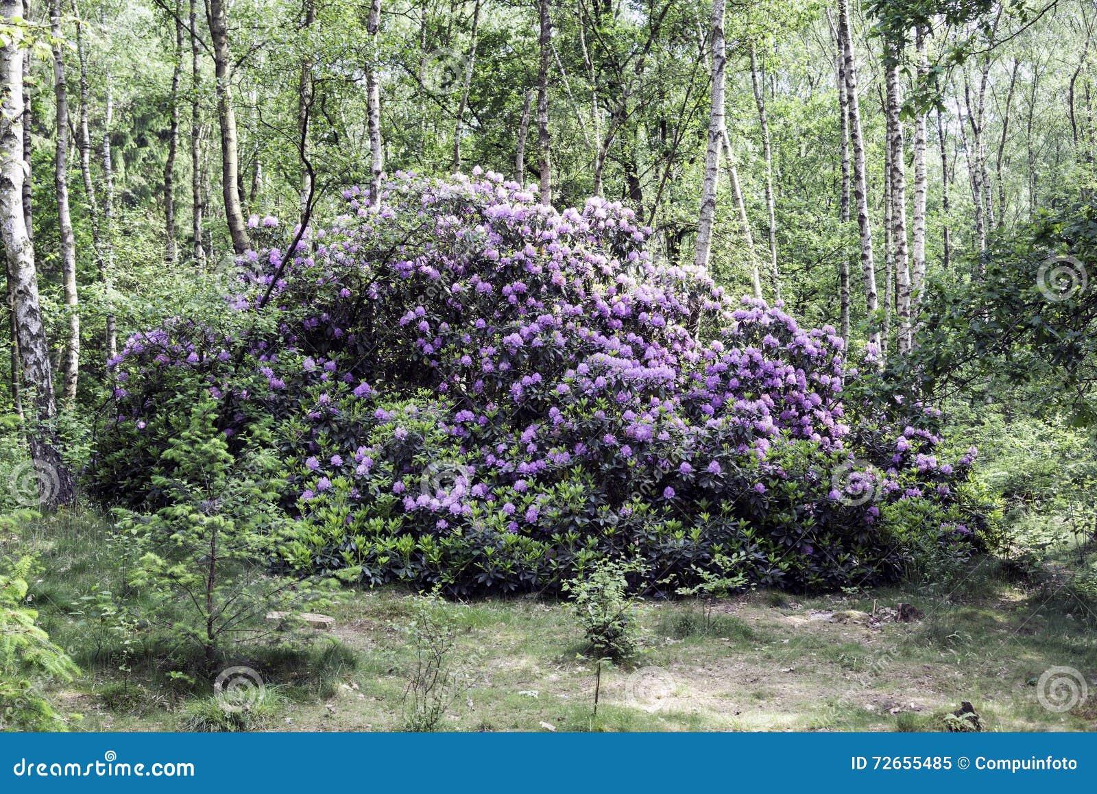 Planta p rpura gigante del rododendro en bosque de la - Rododendro arbol ...