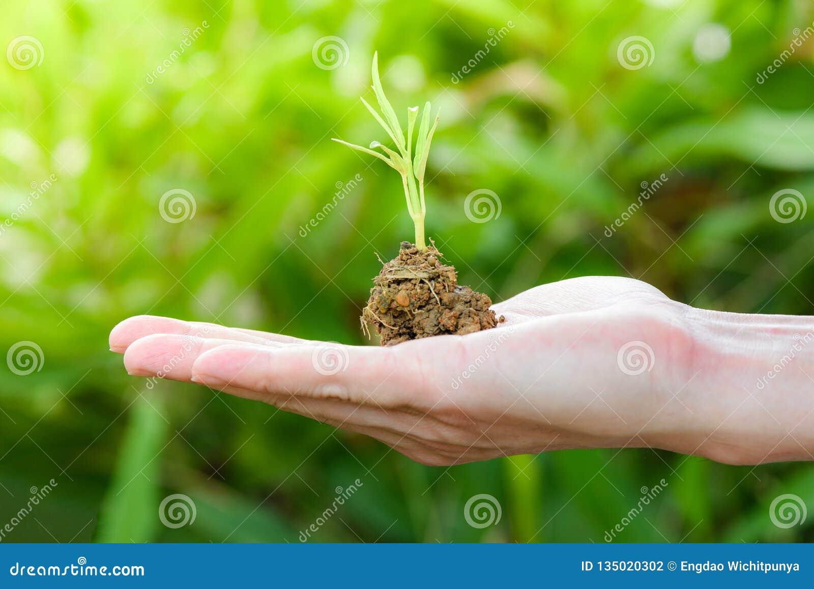 Planta que crece a mano el suelo a disposición con agricultura cada vez mayor verde de la plántula y que siembra la naturaleza de