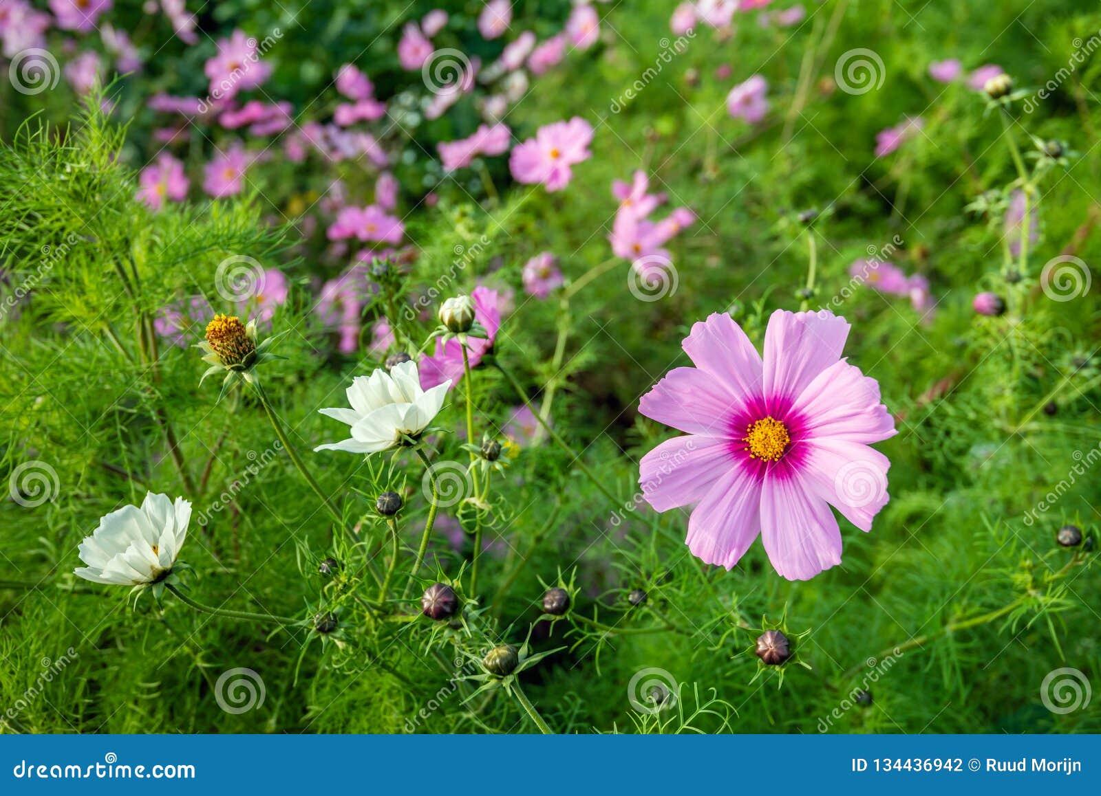 Planta rosada hearted amarilla de florecimiento del cosmos del jardín en el borde de un campo holandés al principio de la tempora