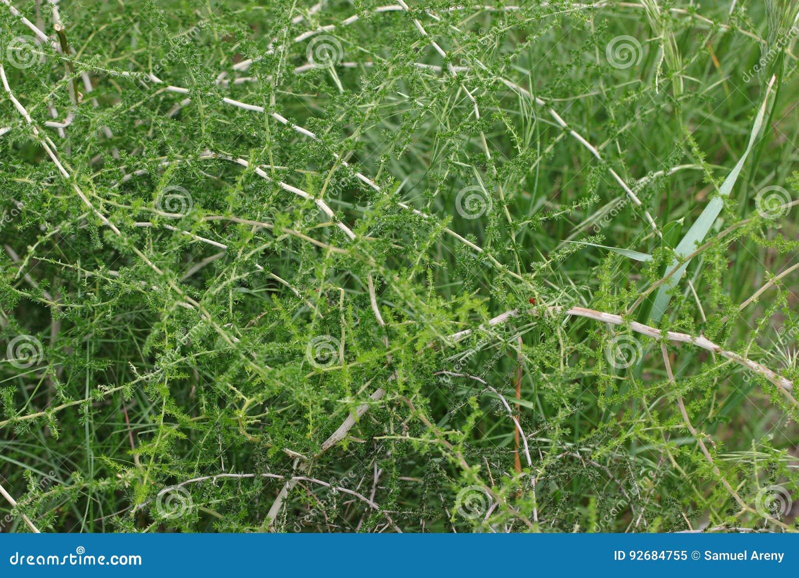 Planta selvagem do aspargo