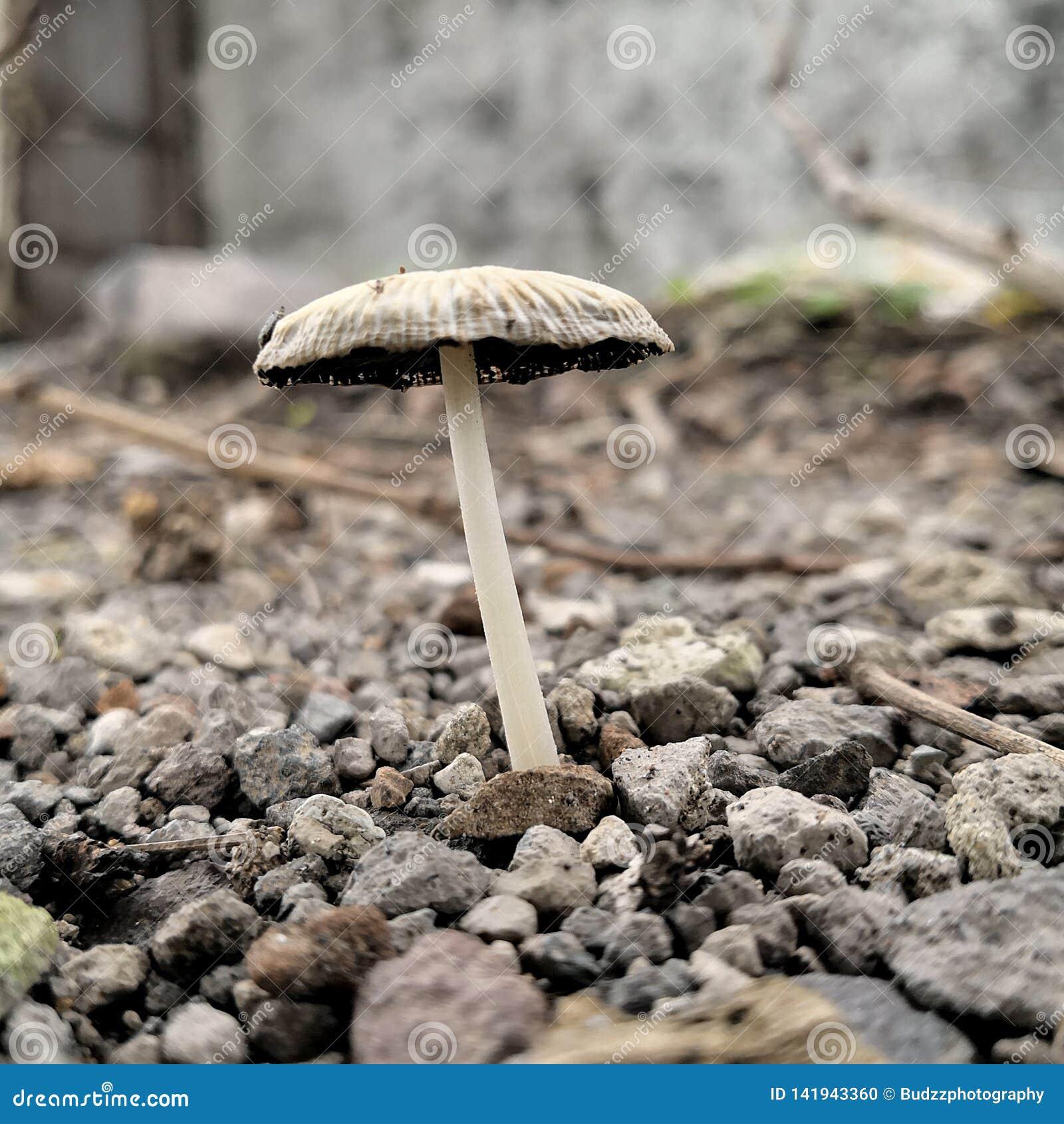 Planta selvagem do cogumelo em Indonésia tomada com delicado disparado macro do espaço da cópia