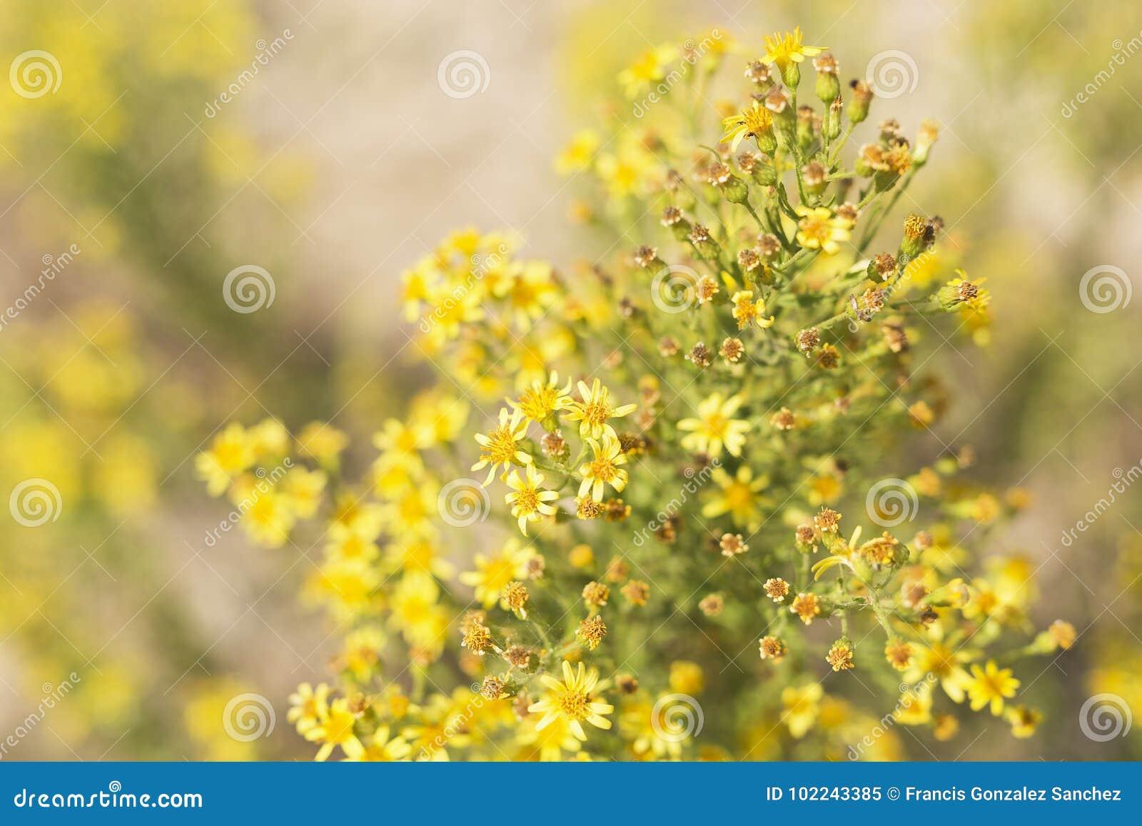 Planta Silvestre Con Las Flores Amarillas Imagen De Archivo Imagen