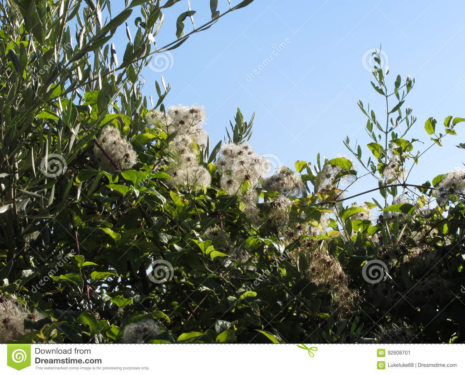Planta Silvestre Con Las Flores Blancas En El Arbusto Imagen De