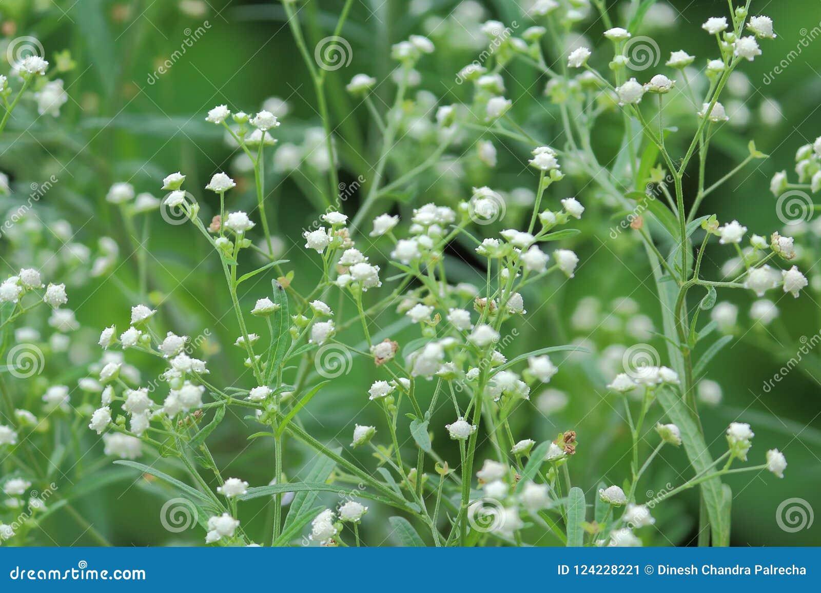 Planta Silvestre De La Flor Blanca Imagen De Archivo Imagen De