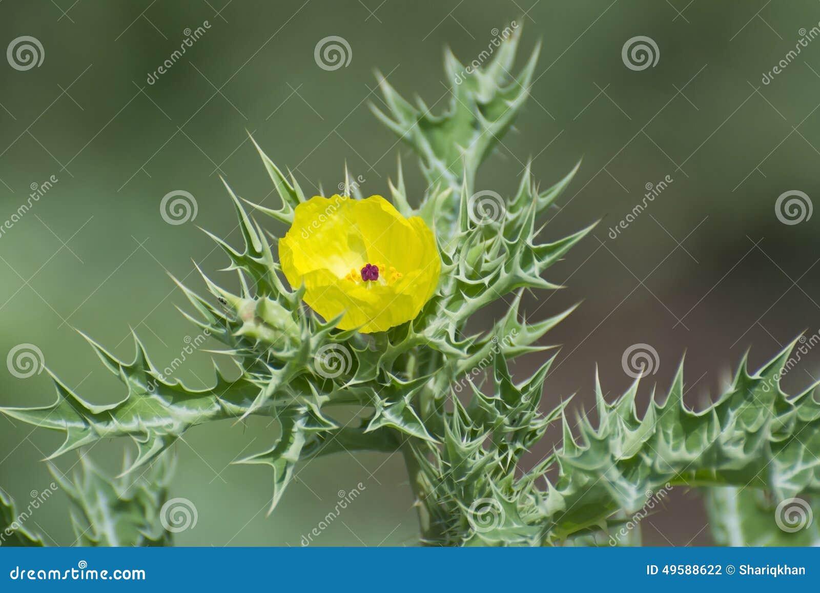 Planta Silvestre Espinosa Con Las Flores Amarillas Foto De Archivo