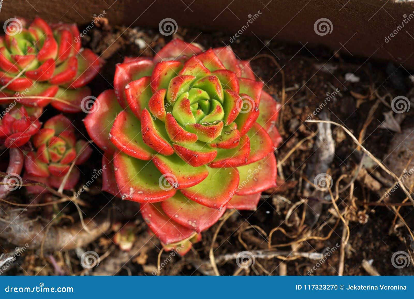 Planta suculento com as folhas verdes e do vermelho