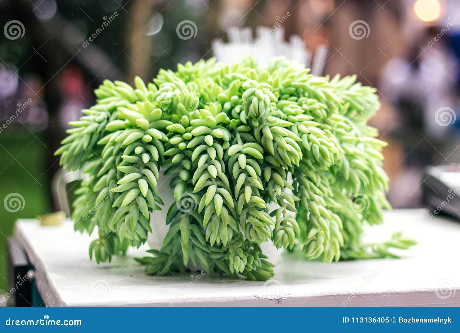 Planta suculento do mundo da cauda do ` s do cavalo da cauda do ` s do cordeiro da cauda do ` s do asno da cauda do ` s do Burro