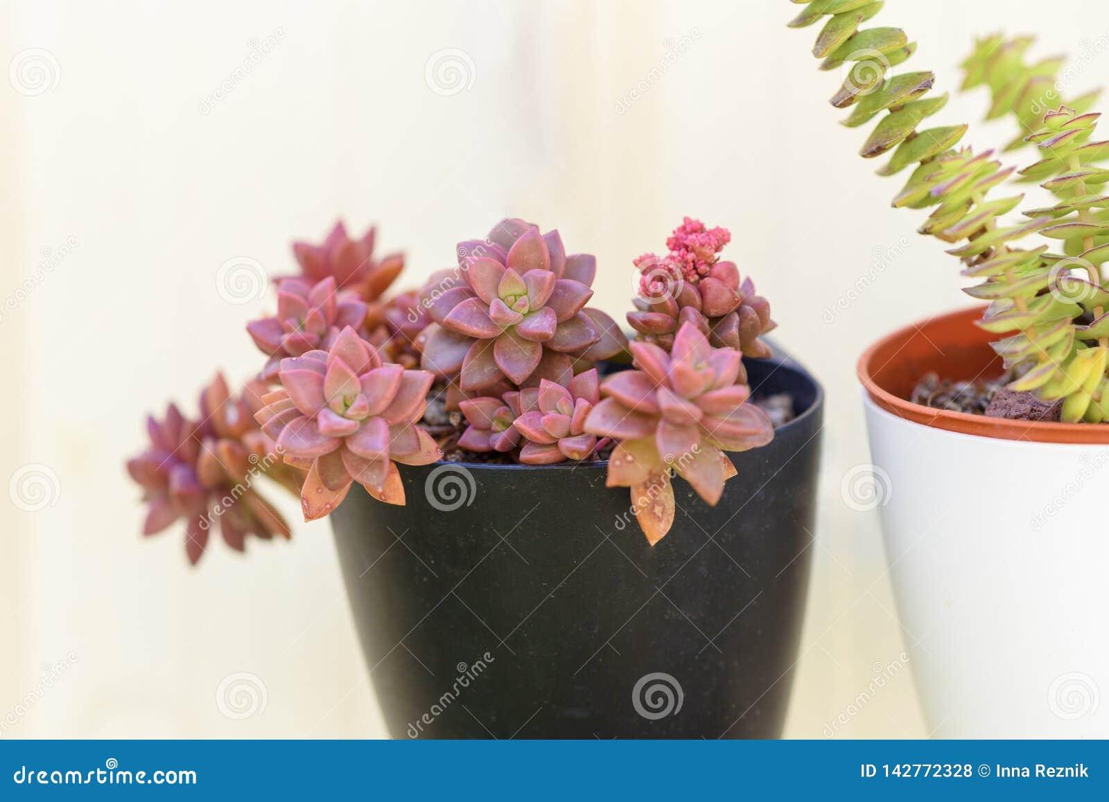 Planta suculento do perfolata de Sedum e de Crassula no potenciômetro de flor no fundo do whte