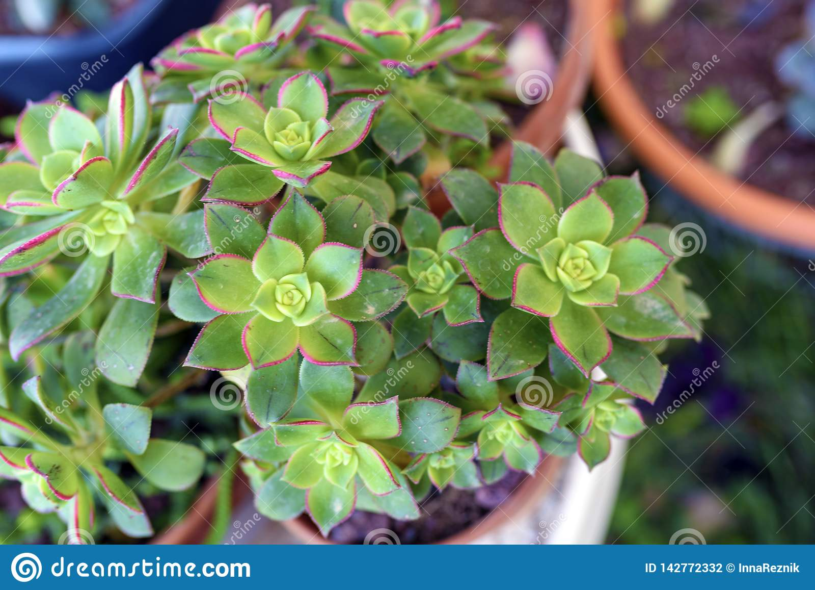 Planta suculento do quivi do Aeonium no potenciômetro de flor