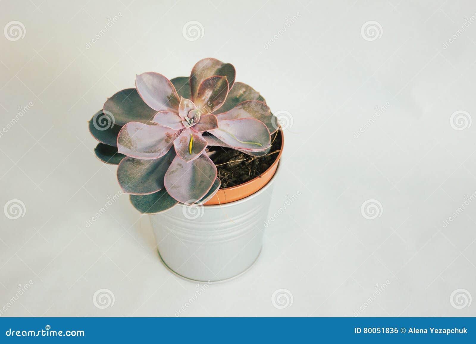 Planta suculento em um potenciômetro