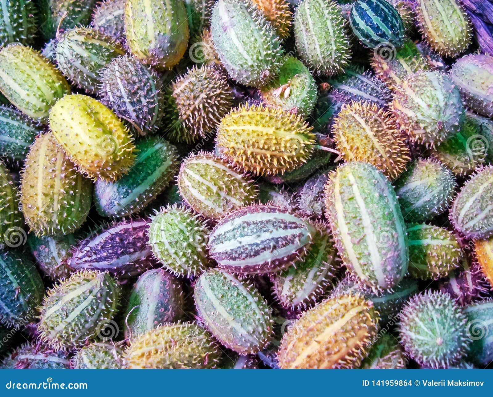 Planta tropical del pepino del africanus salvaje africano del Cucumis