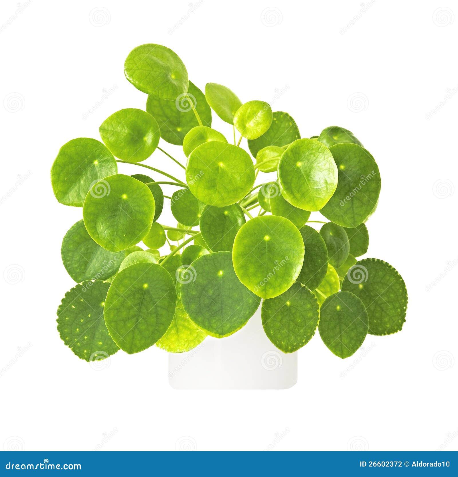 Planta verde fotograf a de archivo imagen 26602372 - Plantas de hojas verdes ...