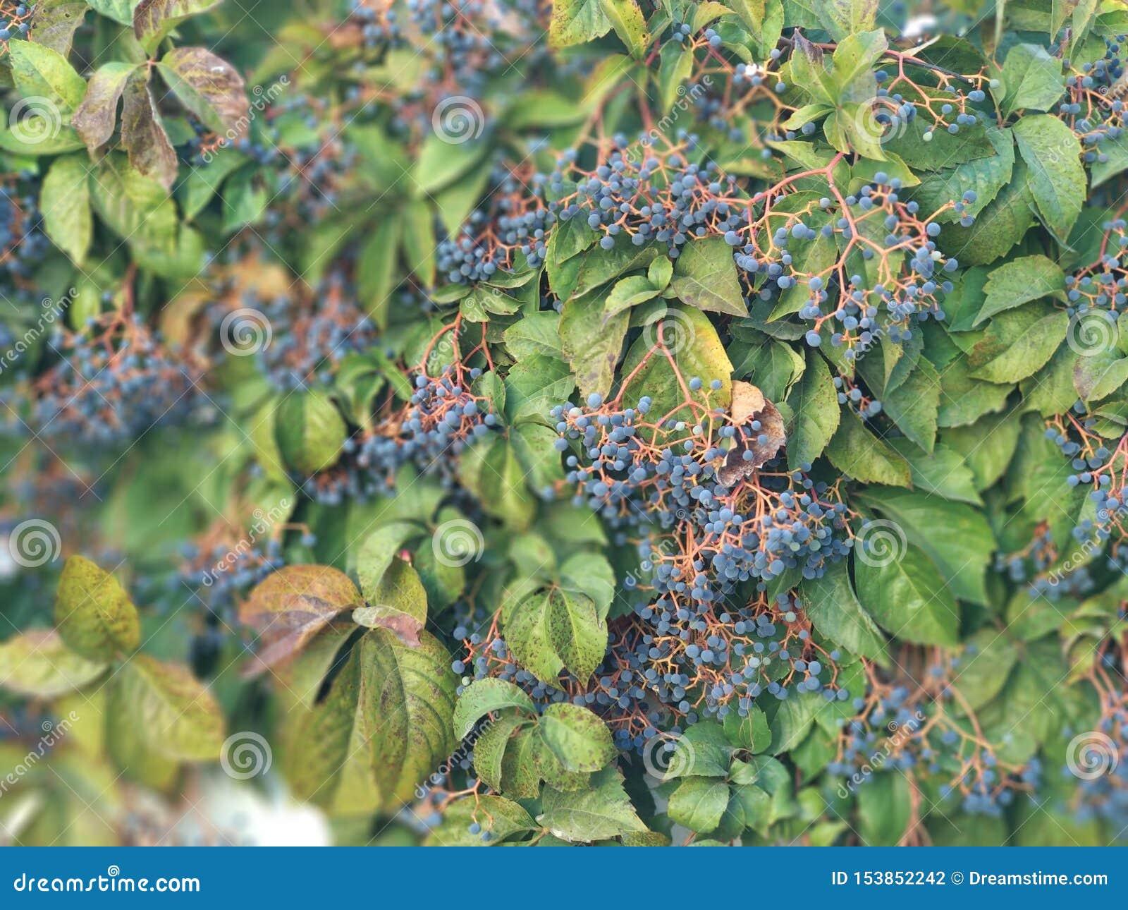 Planta verde com bagas azuis