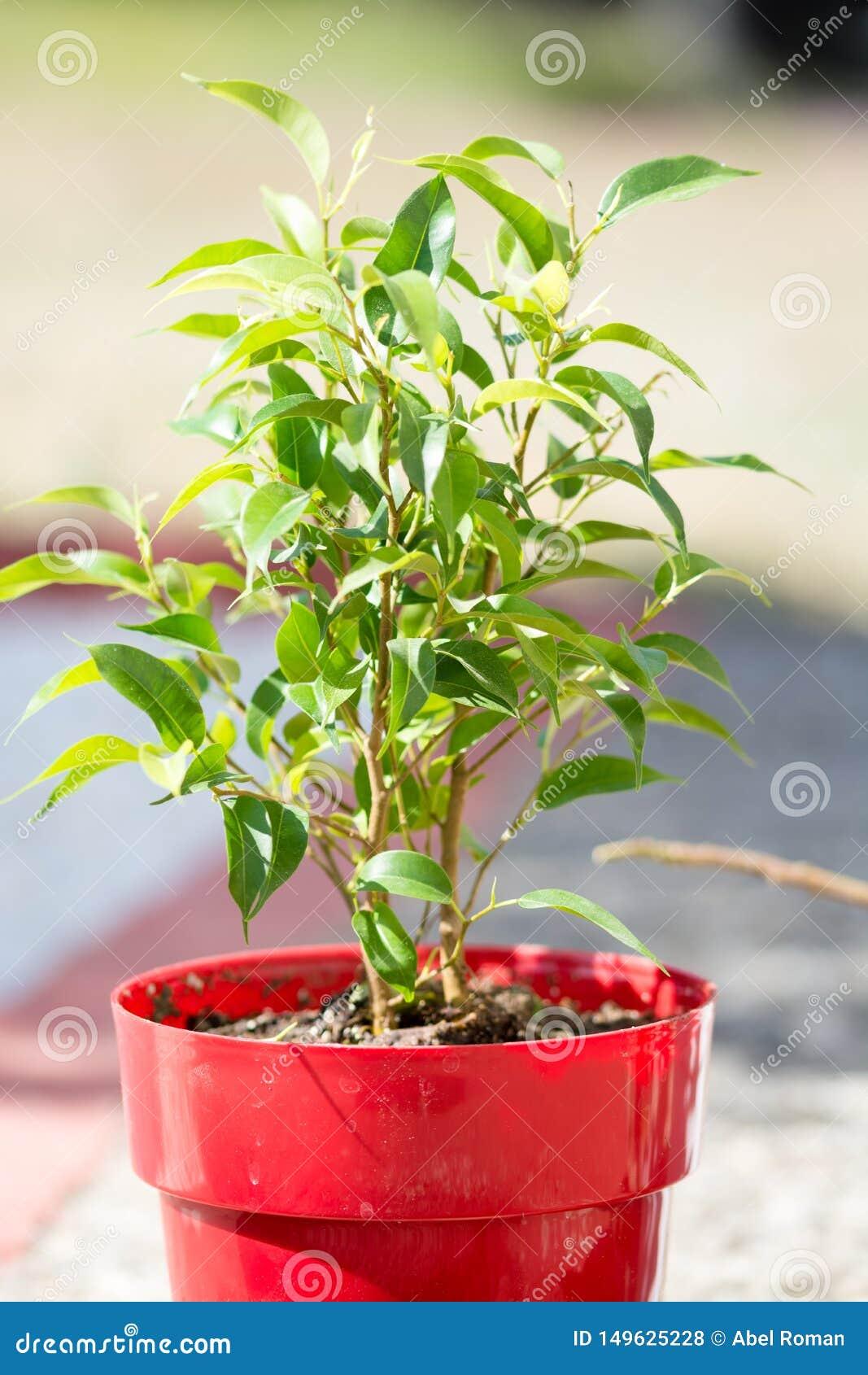 Planta verde con muchas hojas en un pote rojo