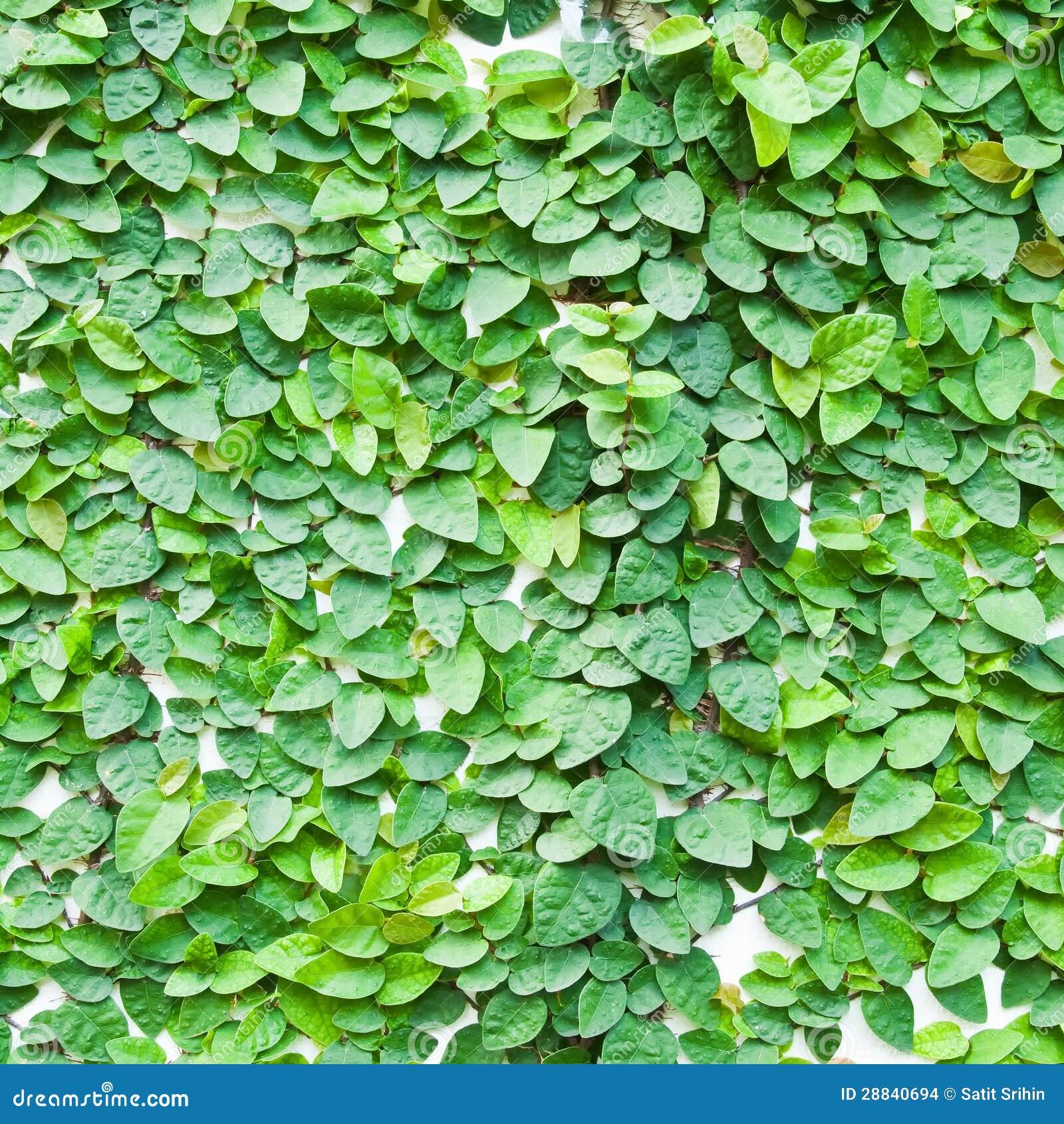Planta Verde Da Trepadeira Na Parede Foto De Stock