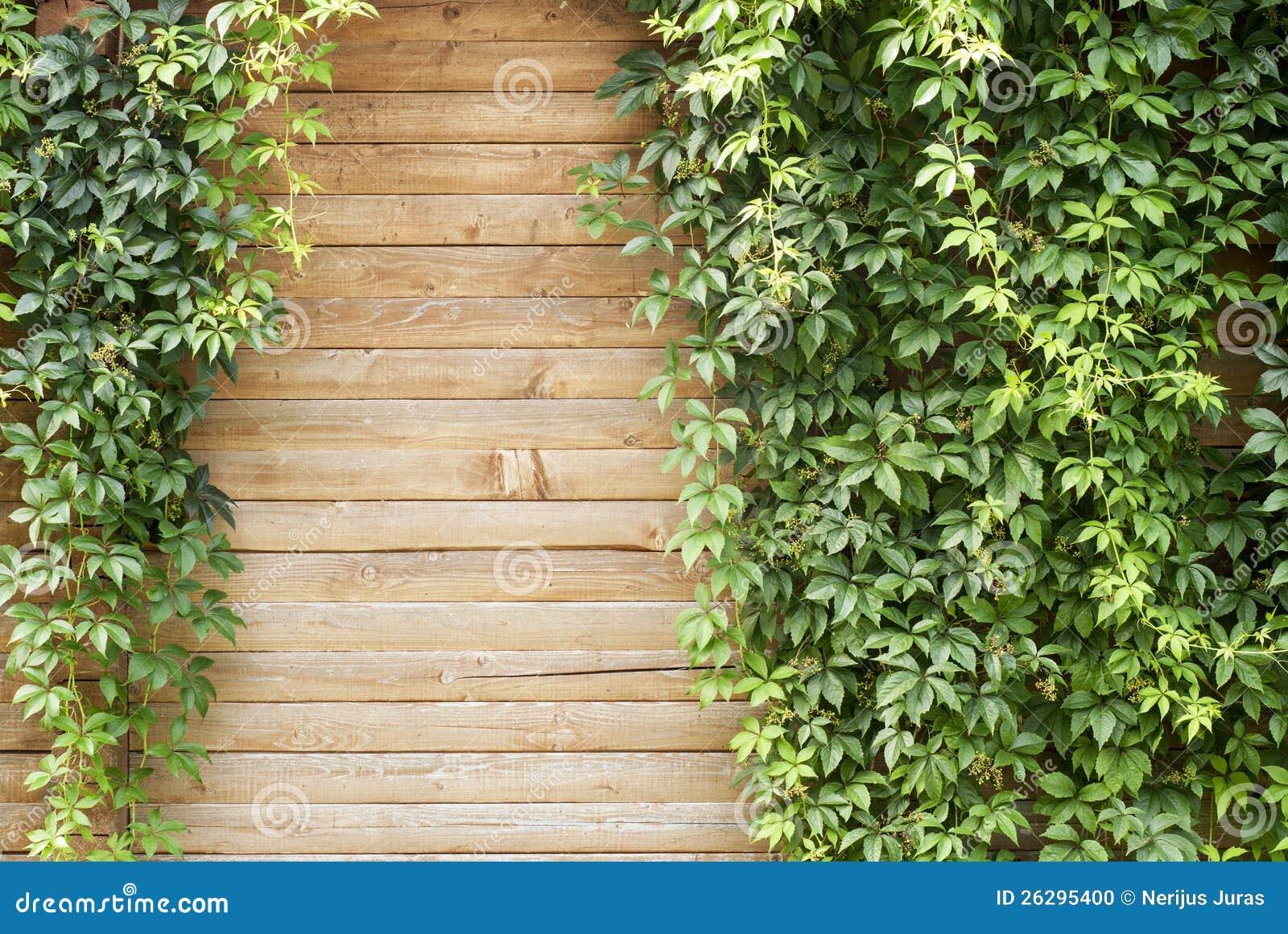 Planta verde de la enredadera foto de archivo imagen Plantas para paredes verdes