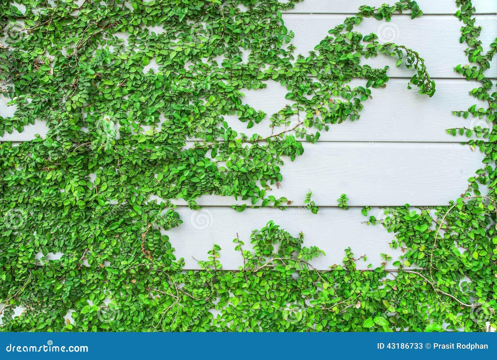 Planta verde de la enredadera que crece en la pared de for Plantas en la pared