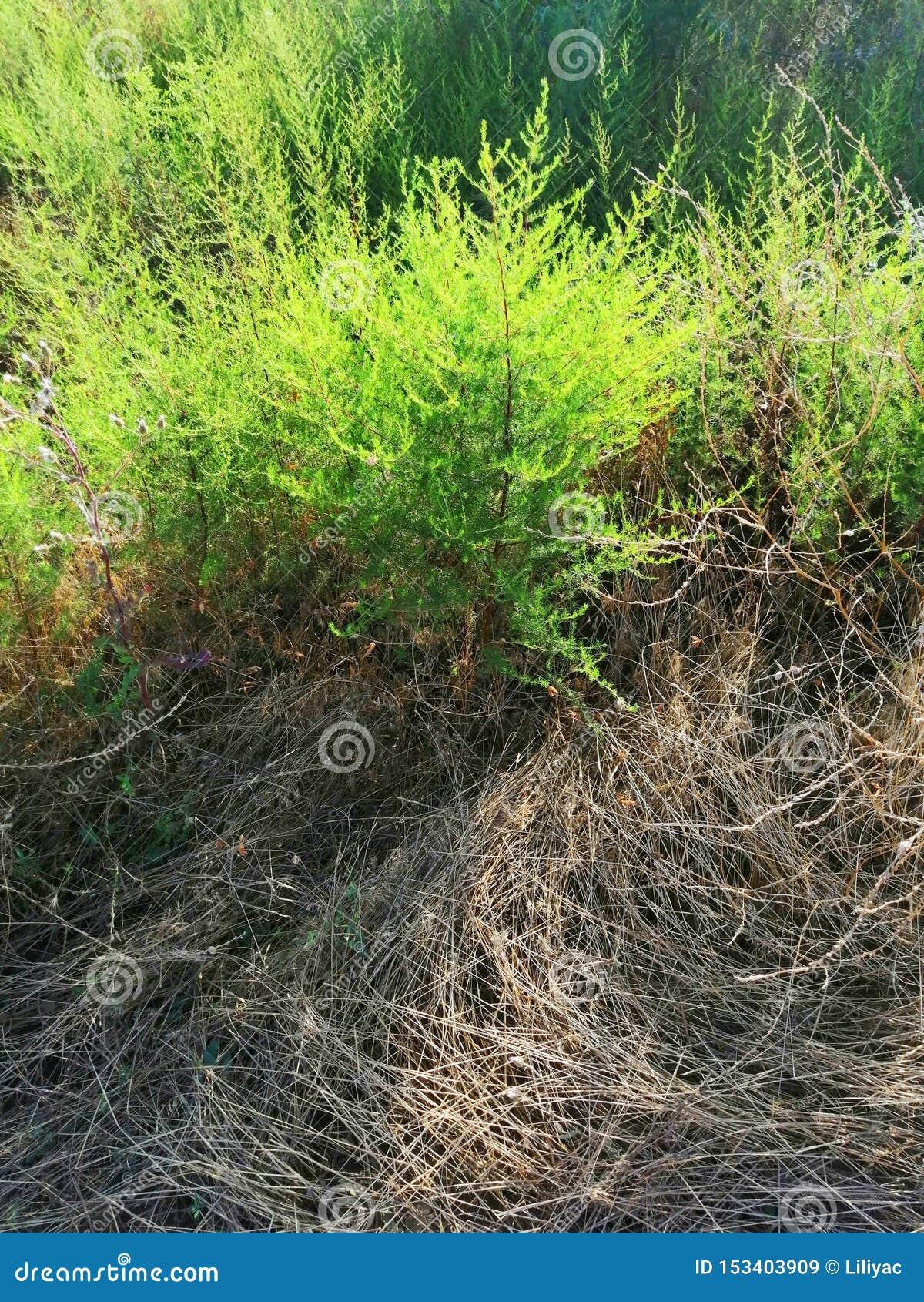 Planta verde incomum no campo e na grama seca