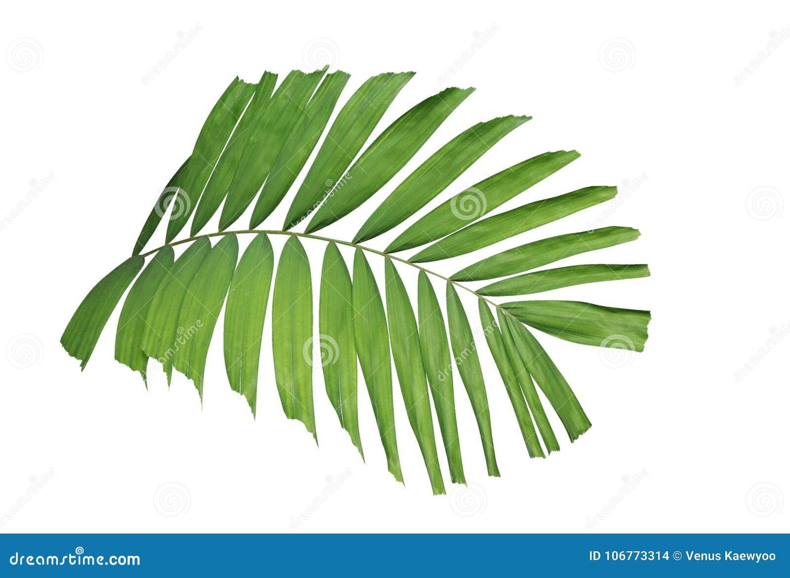 Planta verde tropical da palma da folha isolada no fundo branco, trajeto
