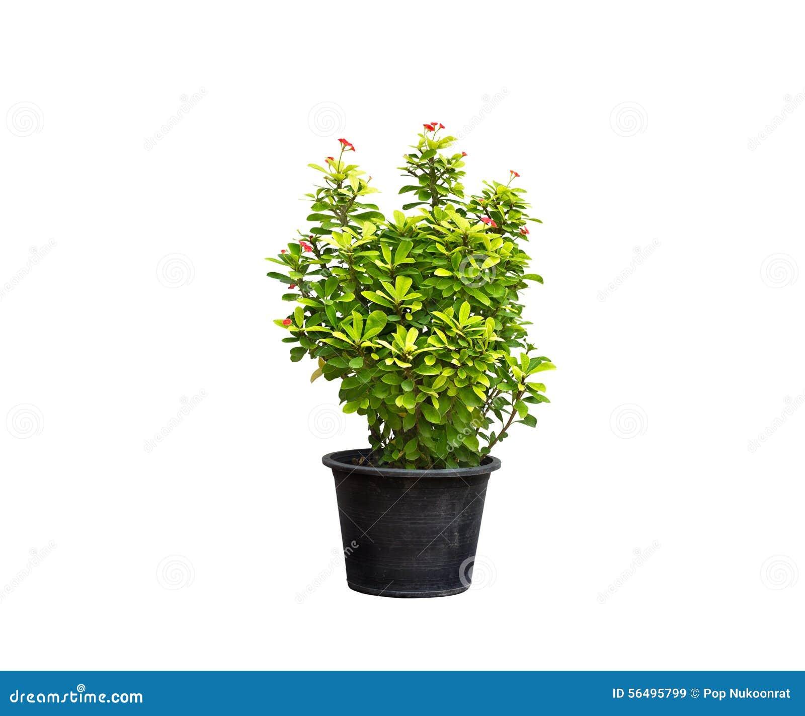 Planta verde y flor en maceta en fondo aislado foto de - Hierba luisa en maceta ...
