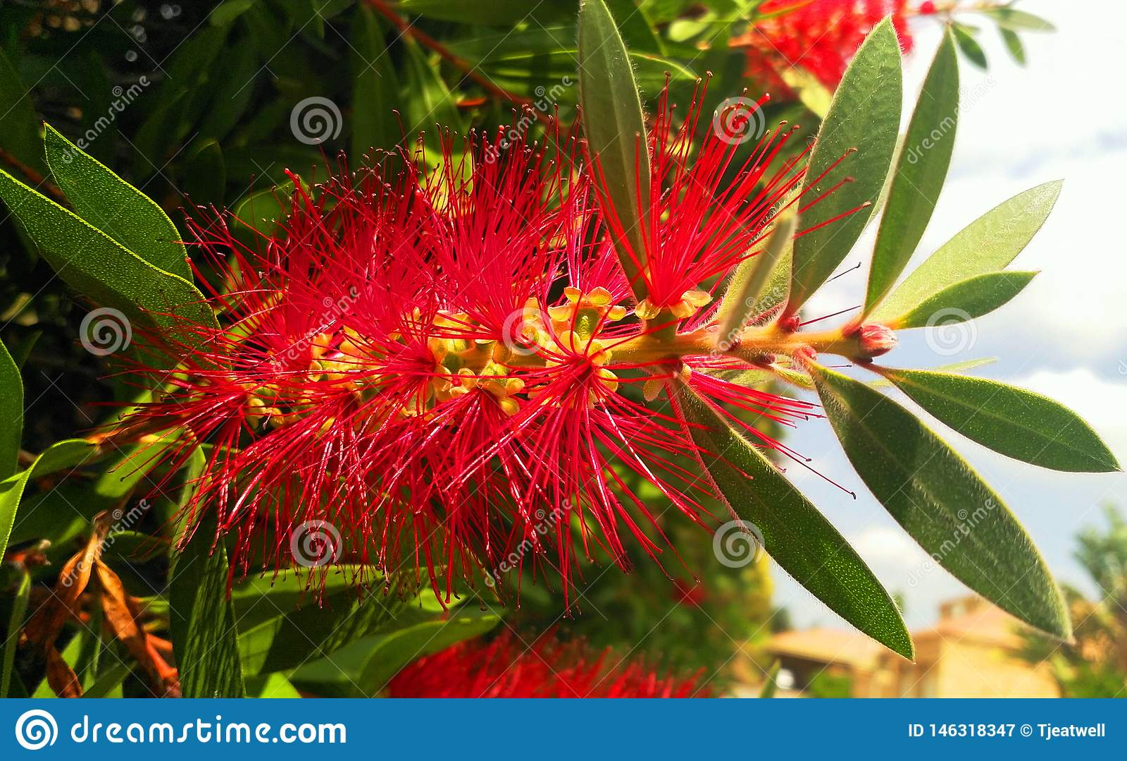 Planta vermelha da escova de garrafa de Bistle do africano