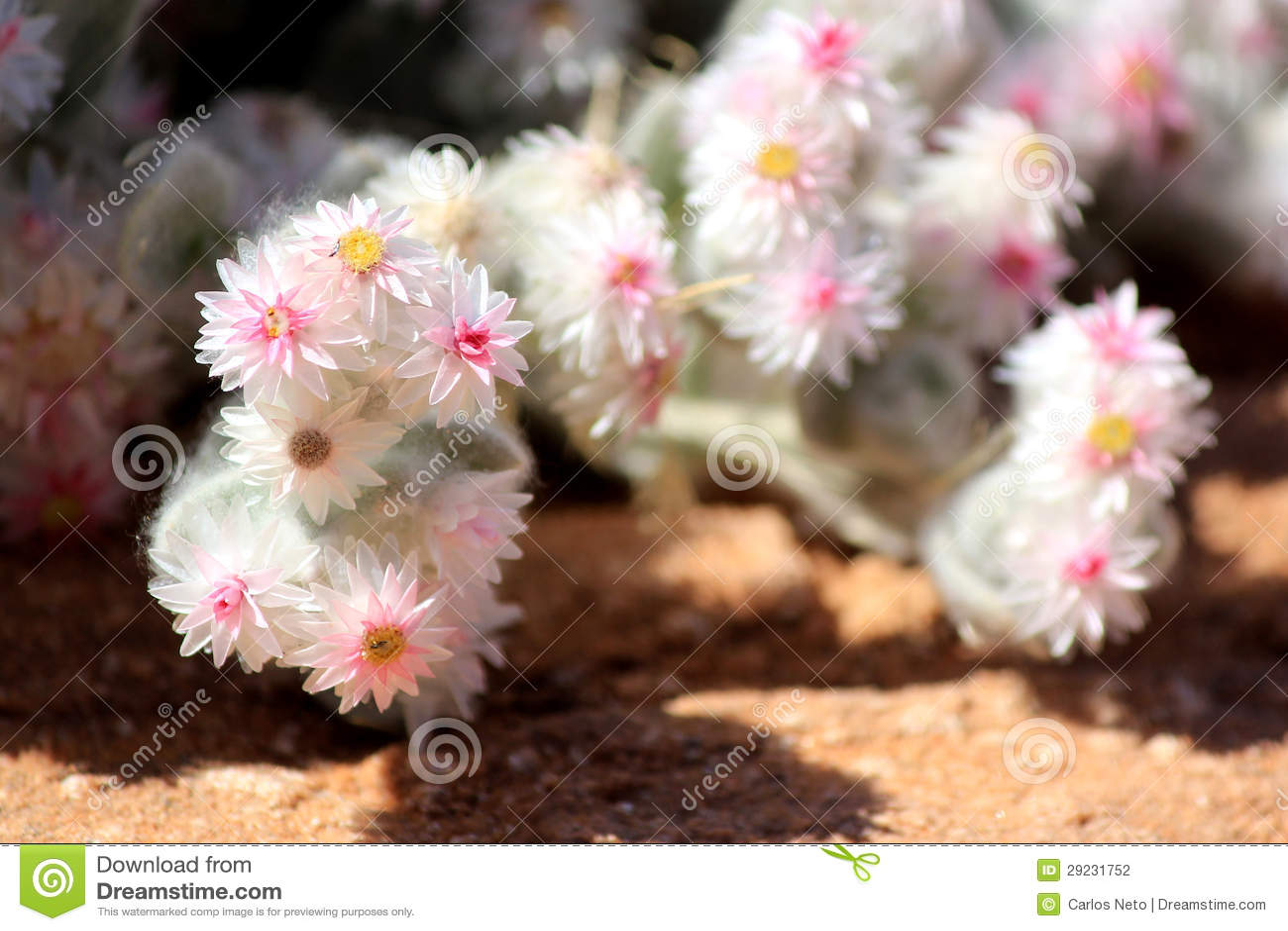 Download Planta Xerophytic No Deserto De Namib Arenoso. Foto de Stock - Imagem de planta, flora: 29231752