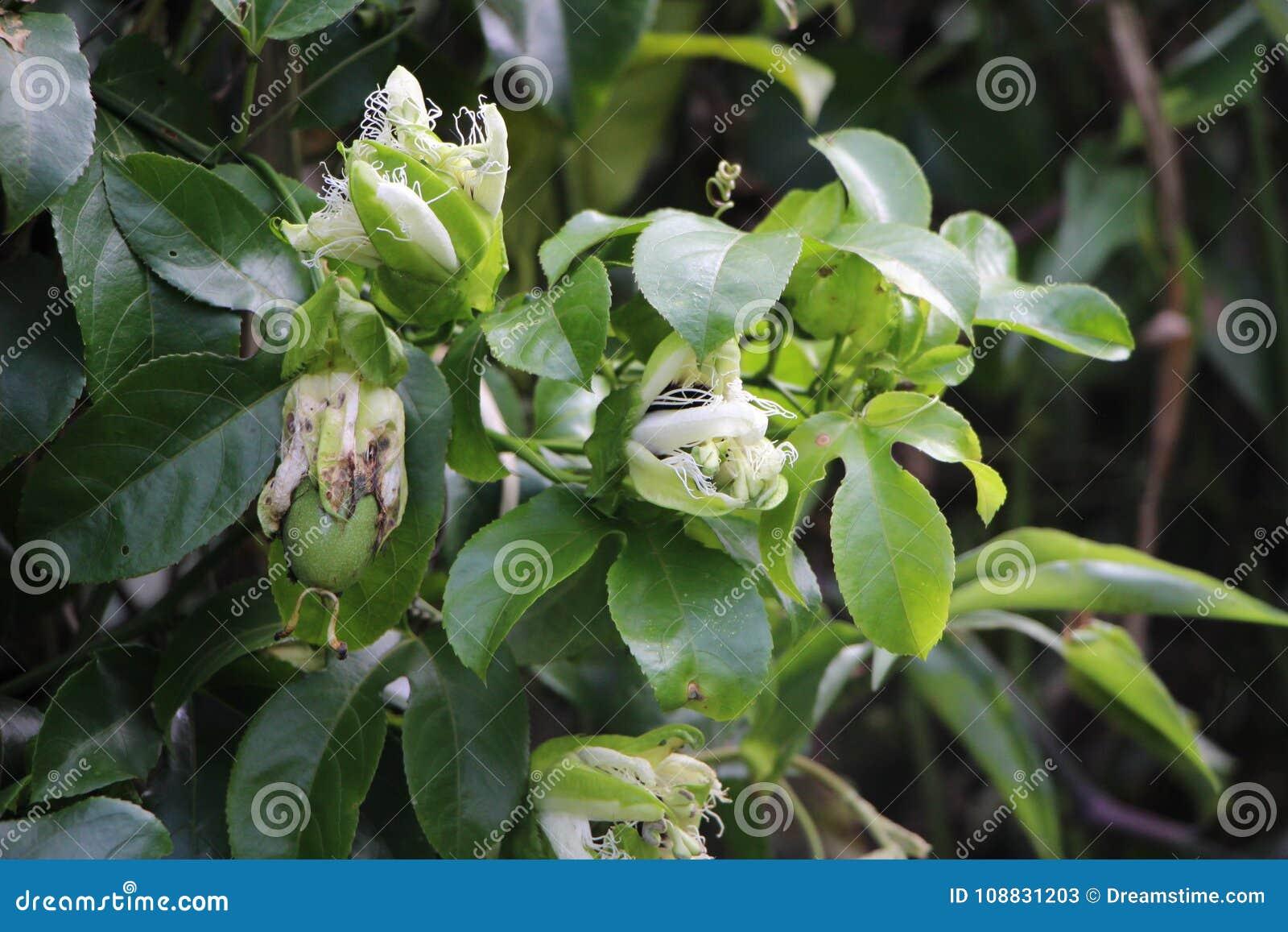 Planta Y Flor Flores De La Fruta De La Pasion De Matagalpa