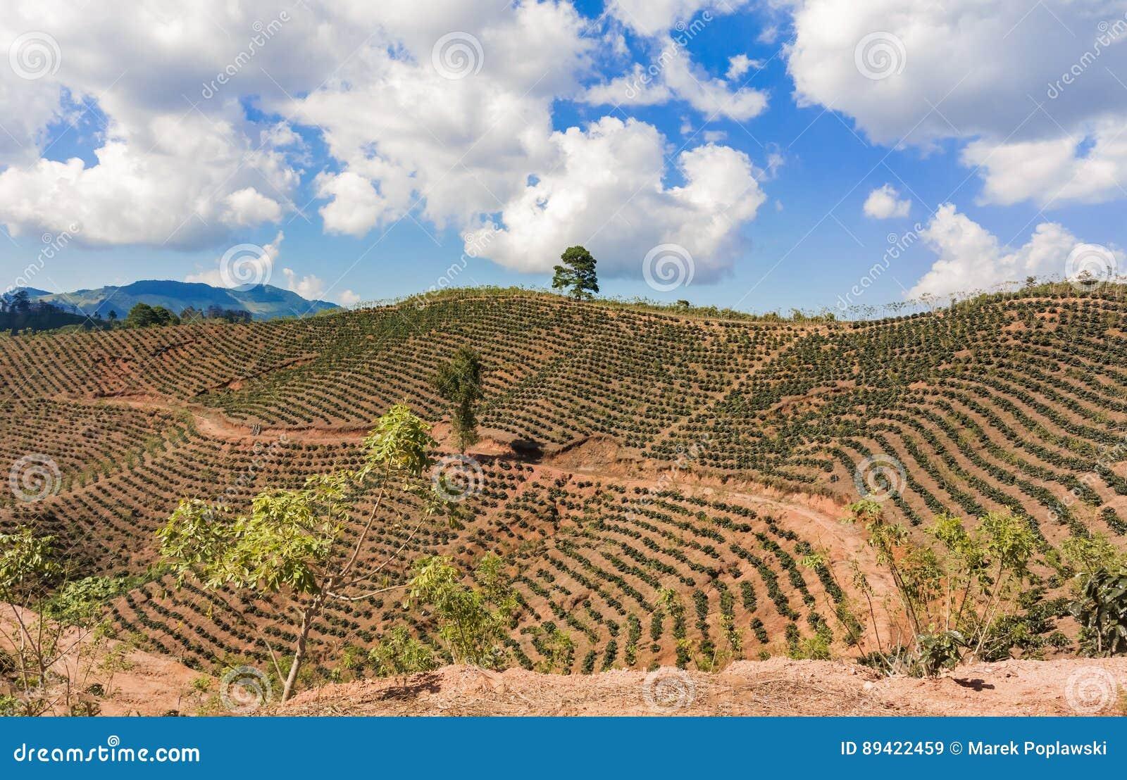 Plantación de café en las montañas de Honduras