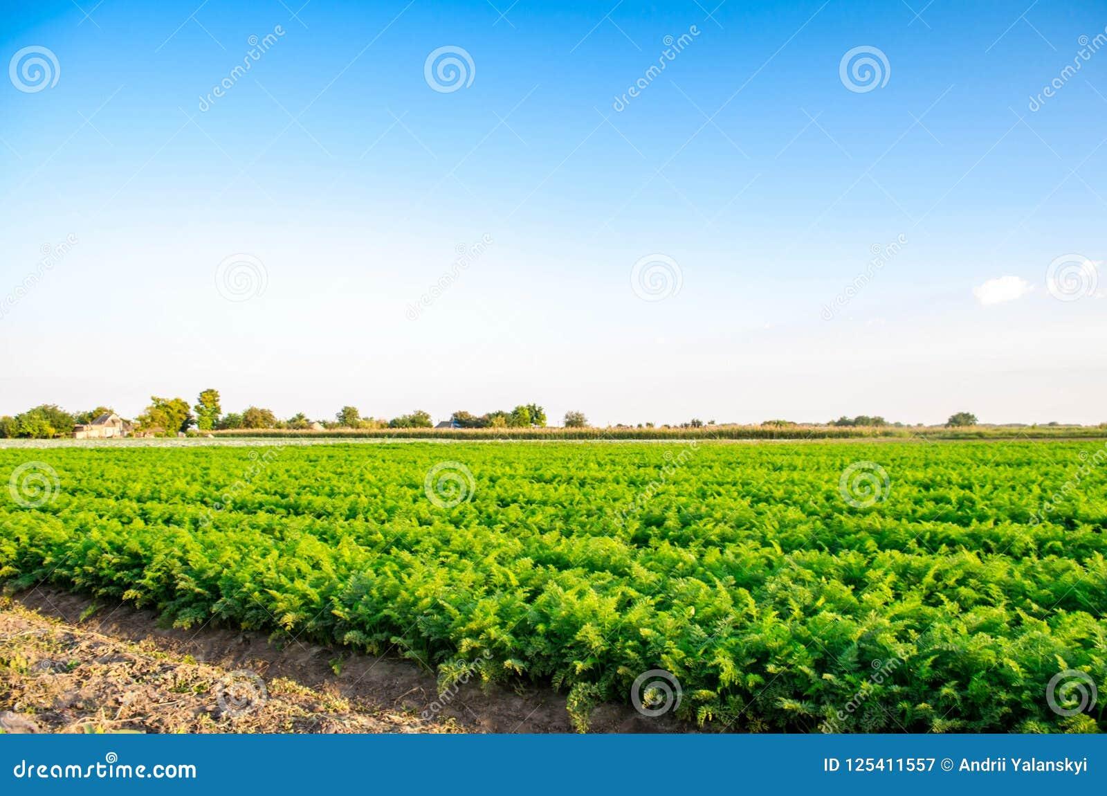 Plantación de la zanahoria en el campo Paisaje hermoso Agricultura farming fila vegetal Día asoleado agricultu respetuoso del med