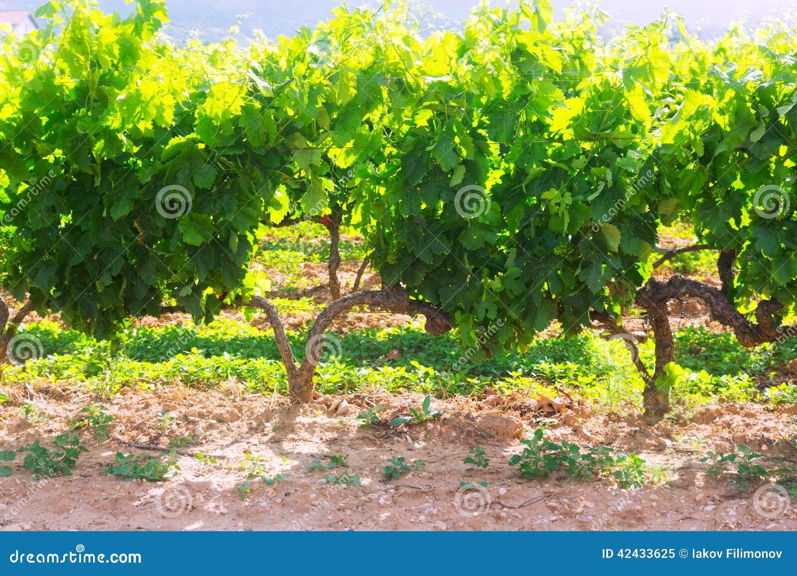 Plantación de los viñedos en día de verano soleado
