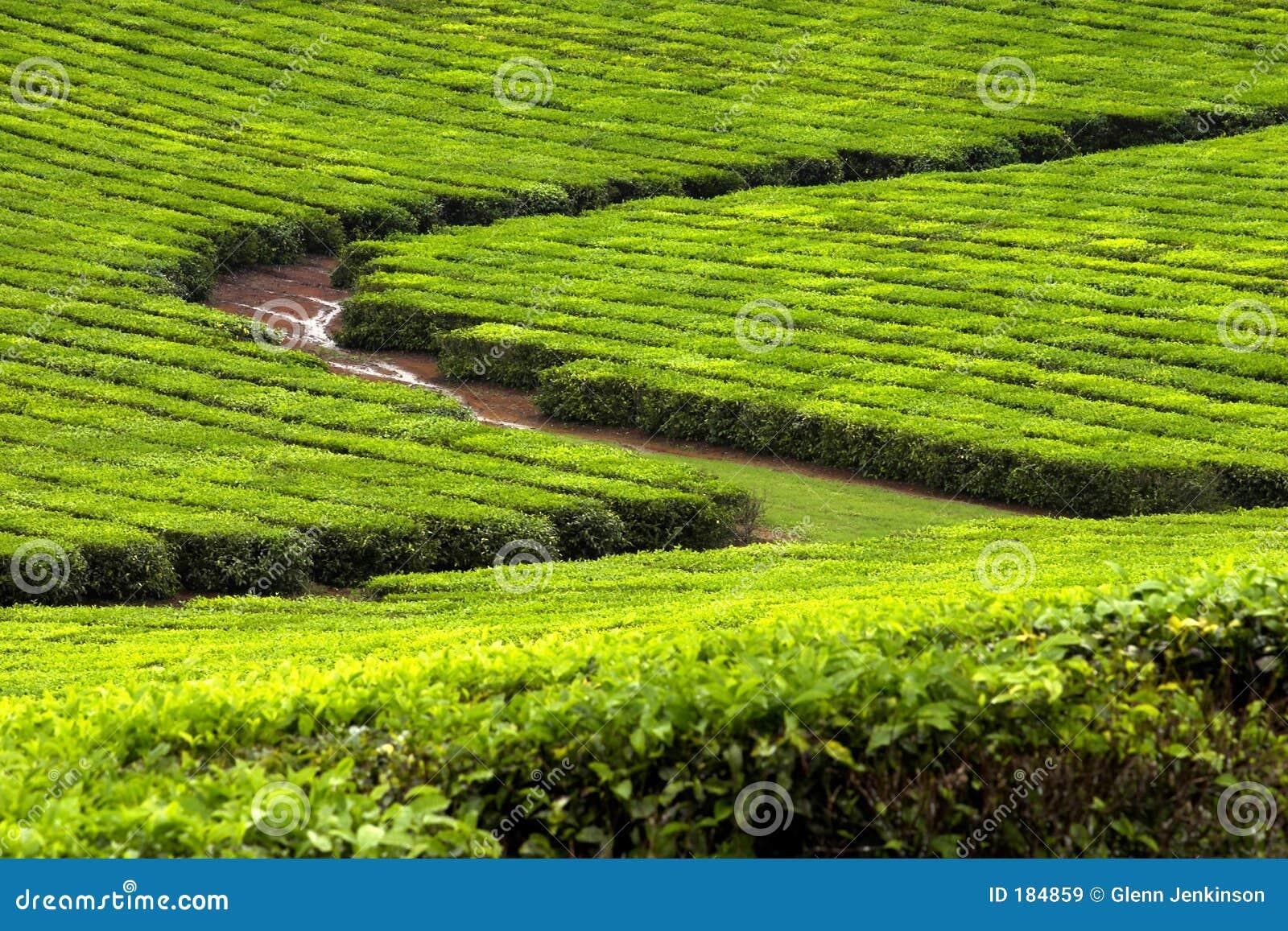 Plantación de té 2