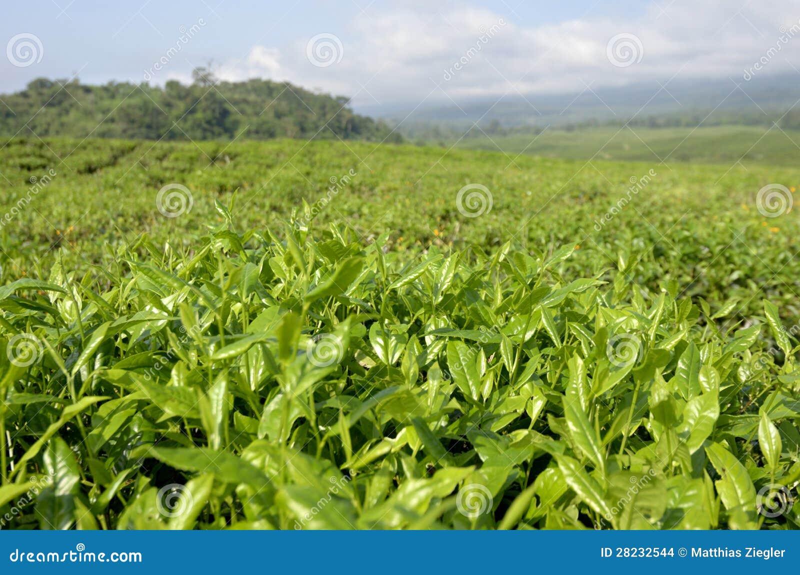 Plantación de té el Camerún