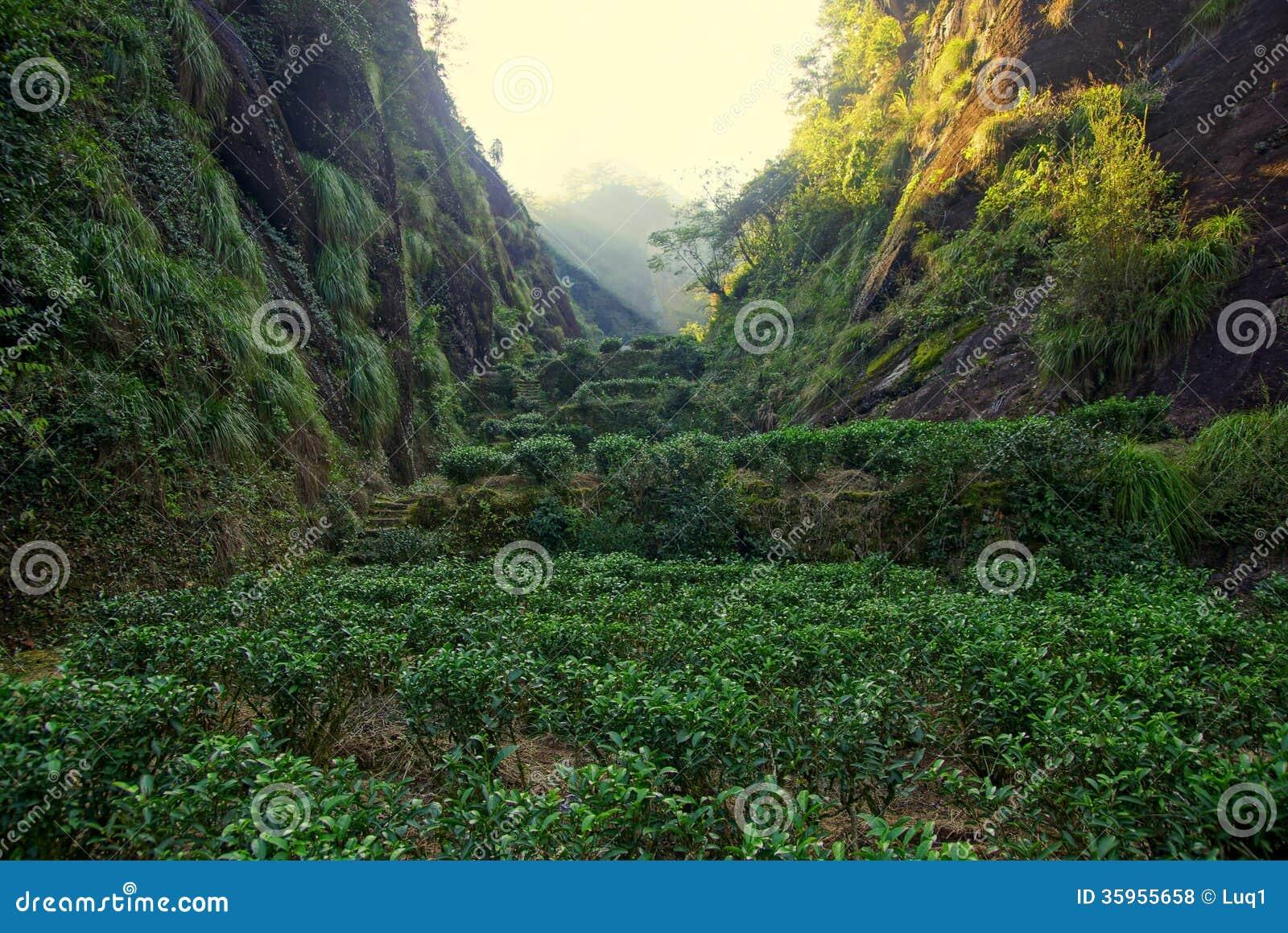 Plantación de té en la provincia de Fujian, China