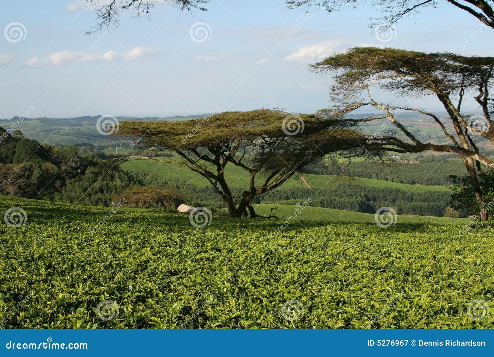 Plantación de té en Malawi, África