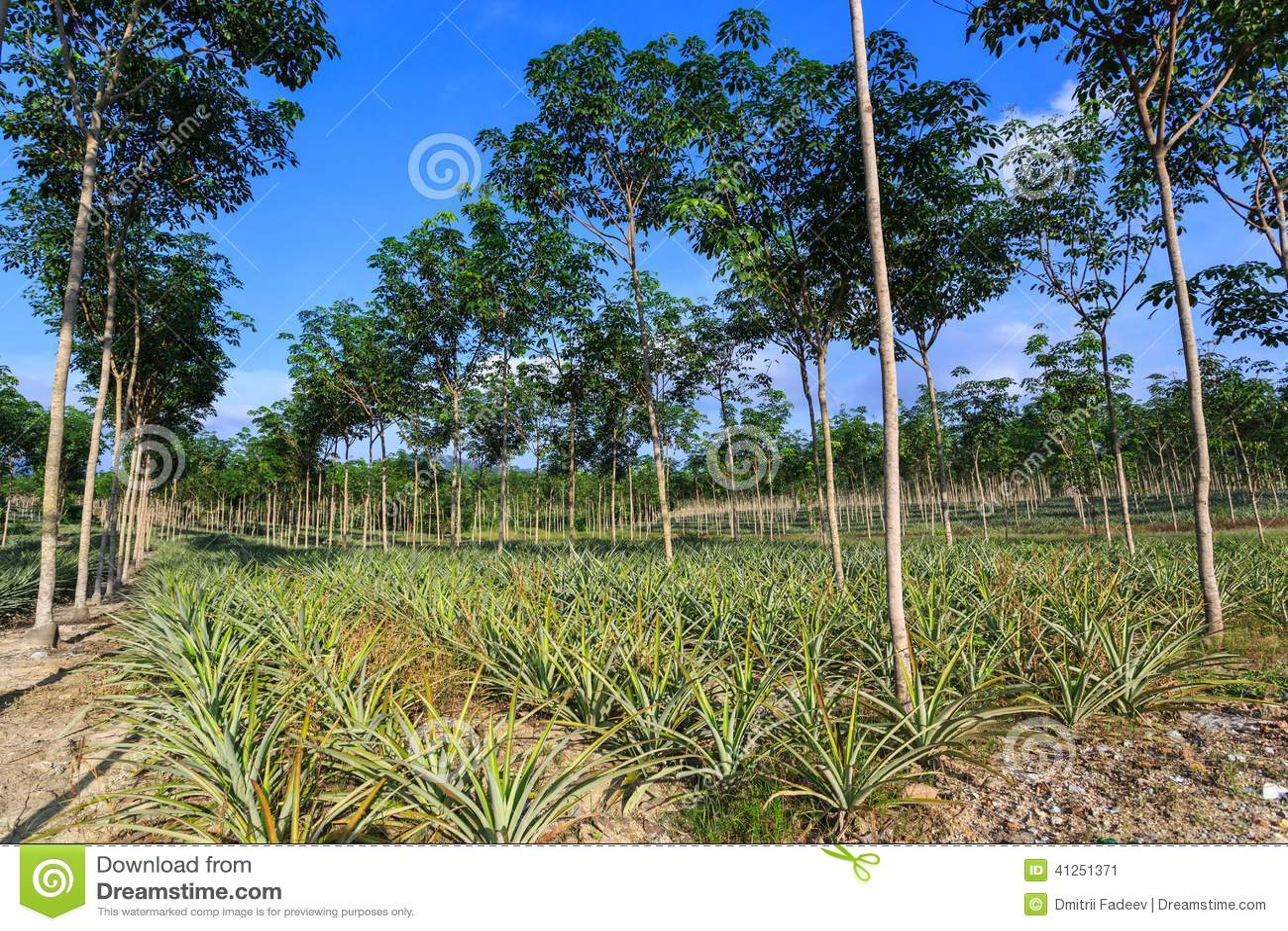 Plantaci n del rbol de goma y de la pi a foto de archivo - Arbol de pina ...