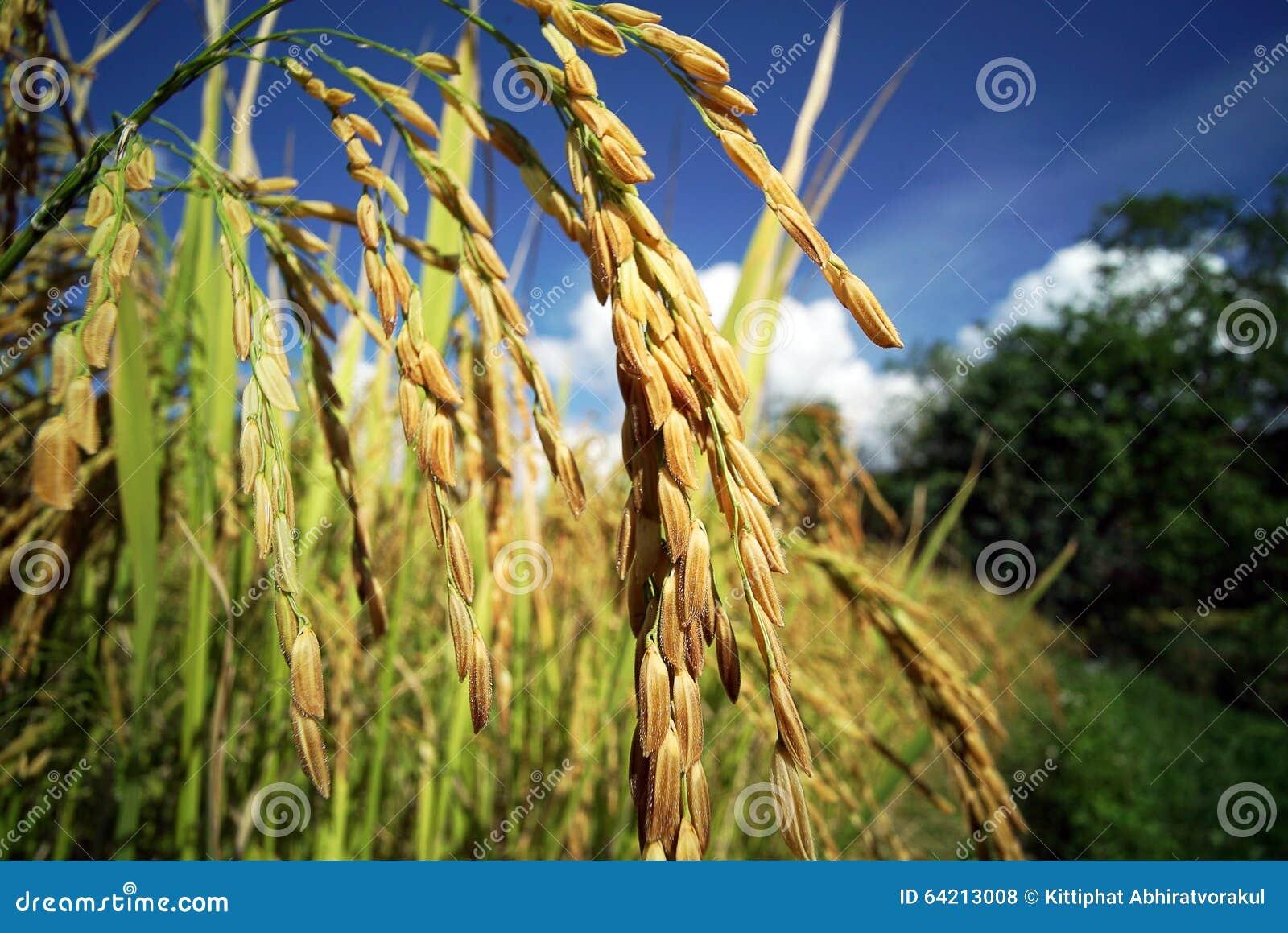 Plantación del campo del arroz